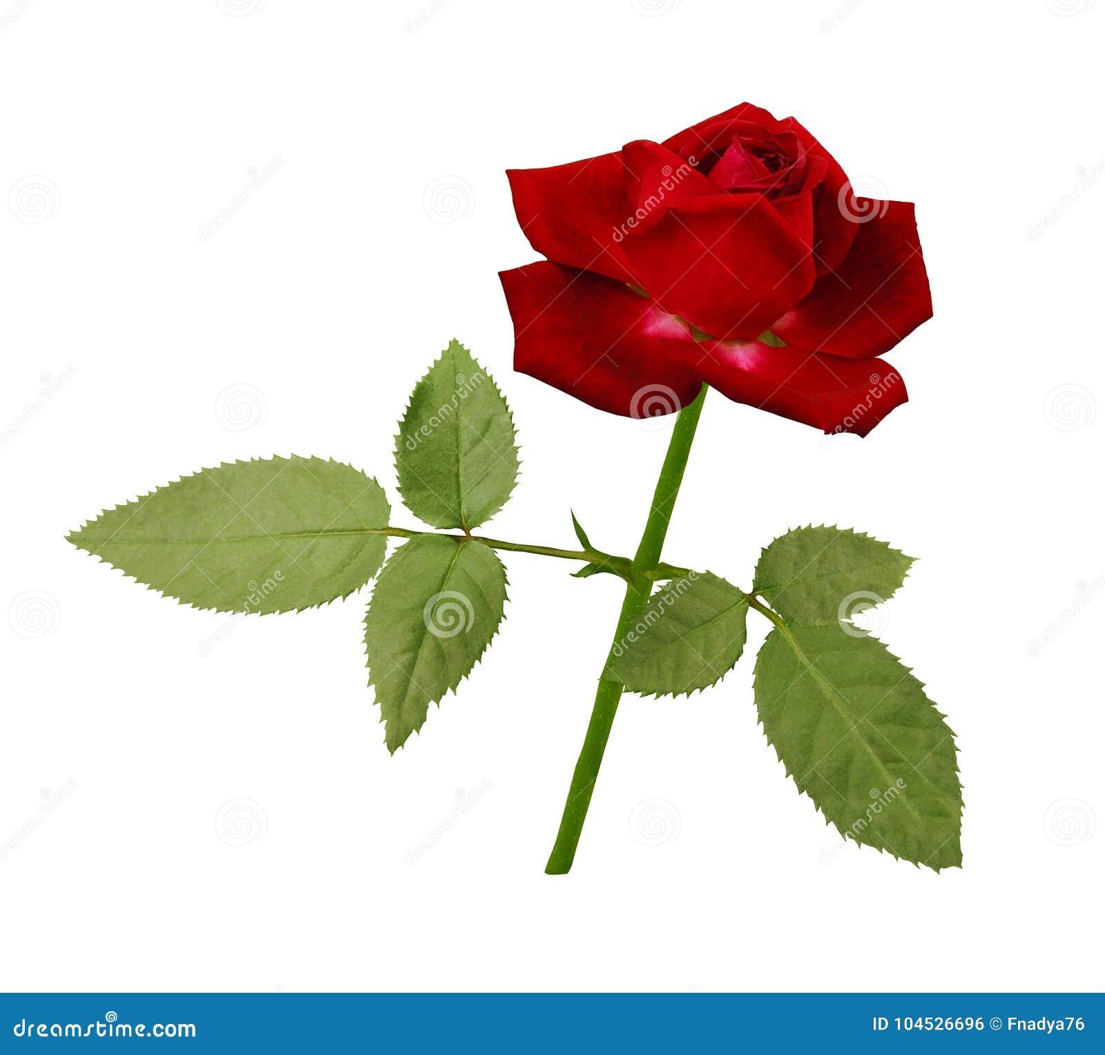 Une Fleur D Une Rose Rouge Sur Une Tige Verte Avec Des Feuilles