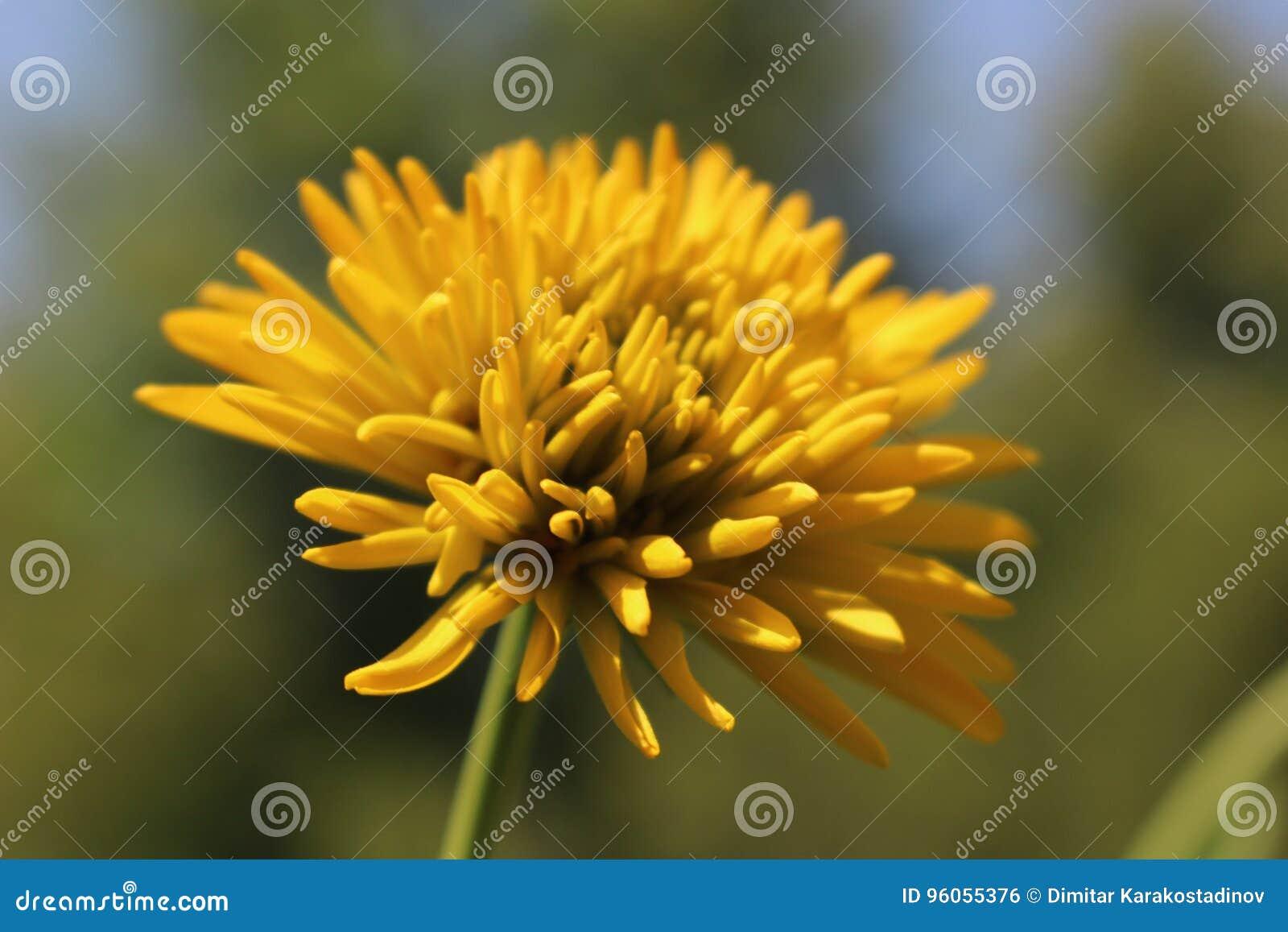 Une fleur jaune lumineuse seulement dans le jardin