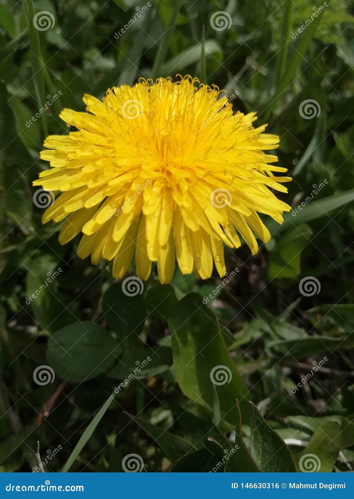 Une fleur jaune simple