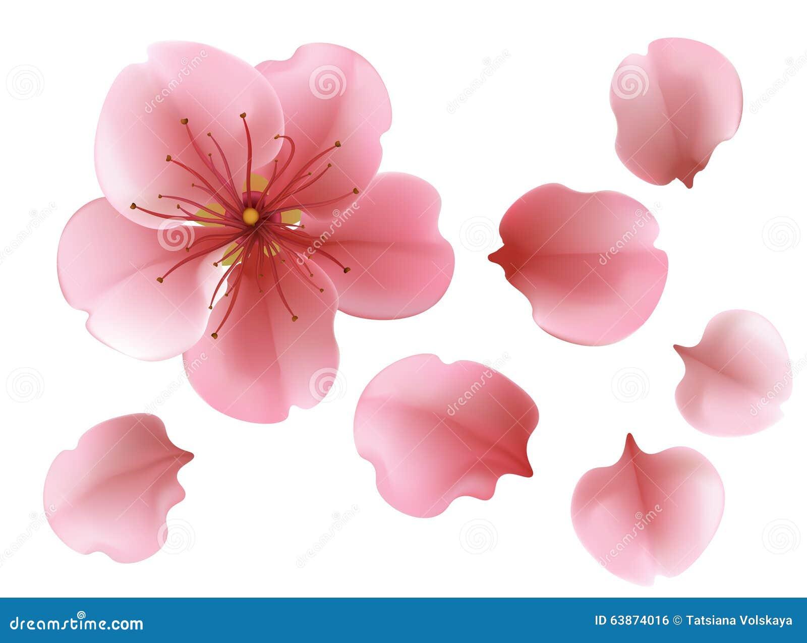 Une Fleur Rose De Floraison De Cerisier De Sacura Sur Le Fond Blanc
