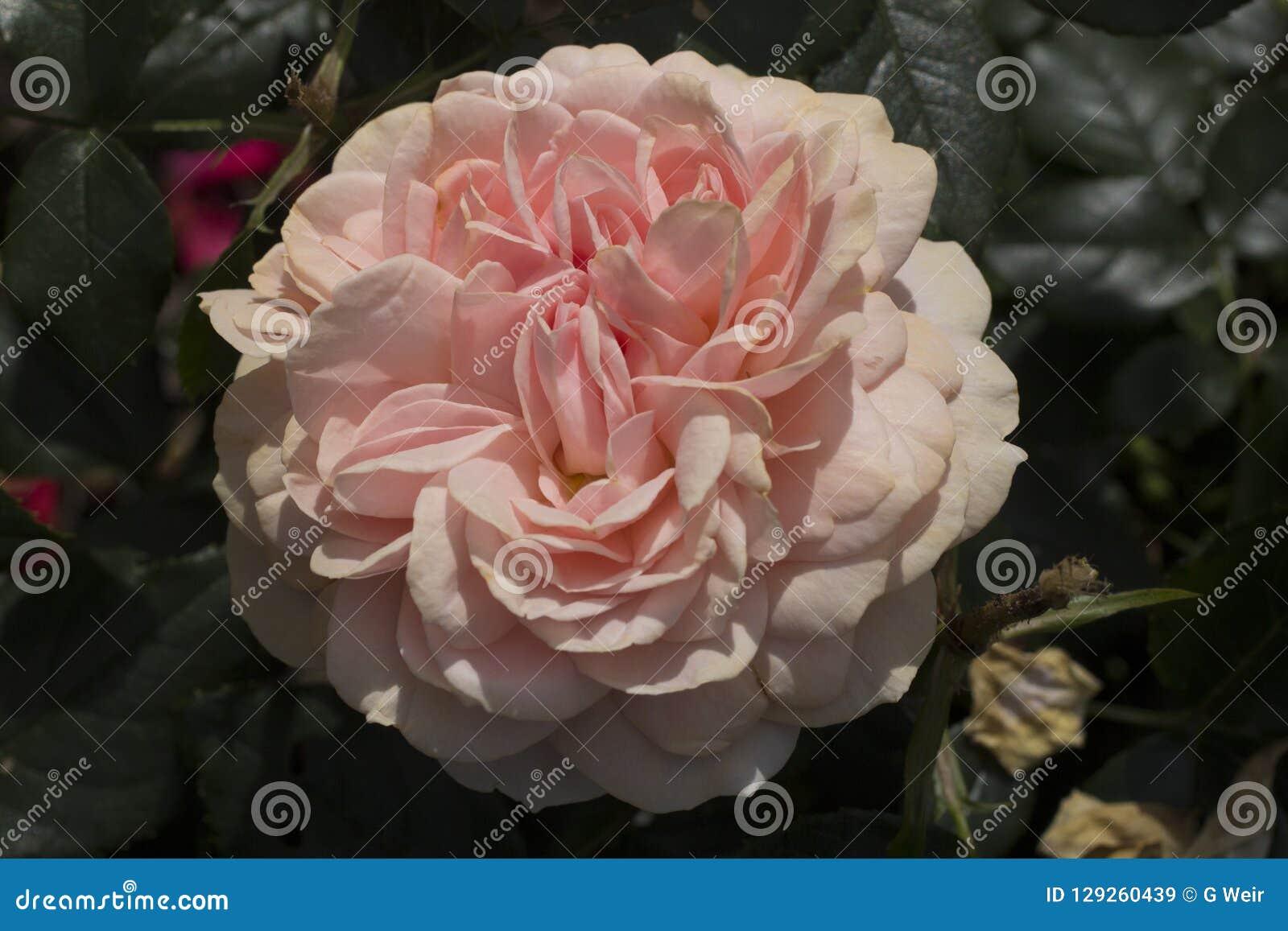 Une fleur rose lumineuse de camélia
