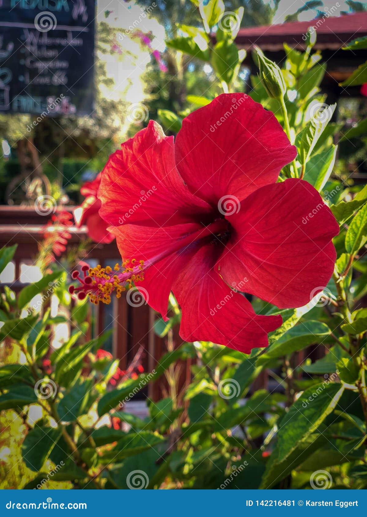 Une fleur rouge de ketmie
