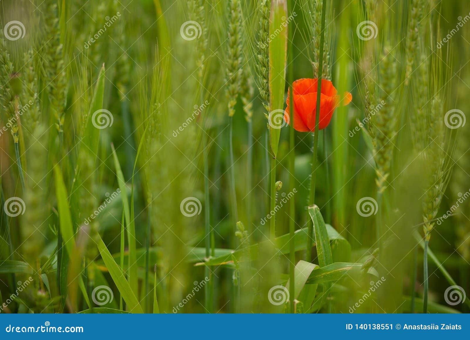 Une fleur rouge de pavot sur le fond du pré vert