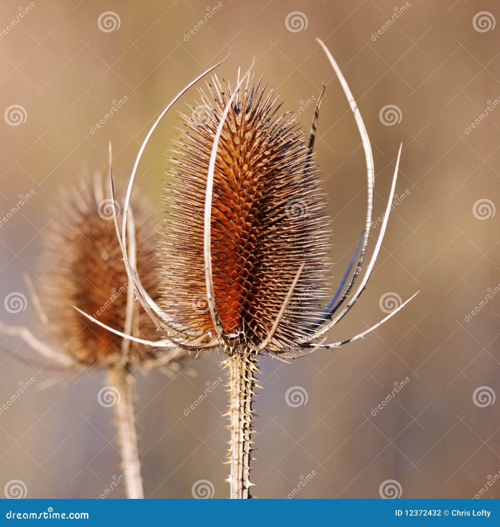 Une Fleur Seche De Chardon Photo Stock Image Du Spiky 12372432