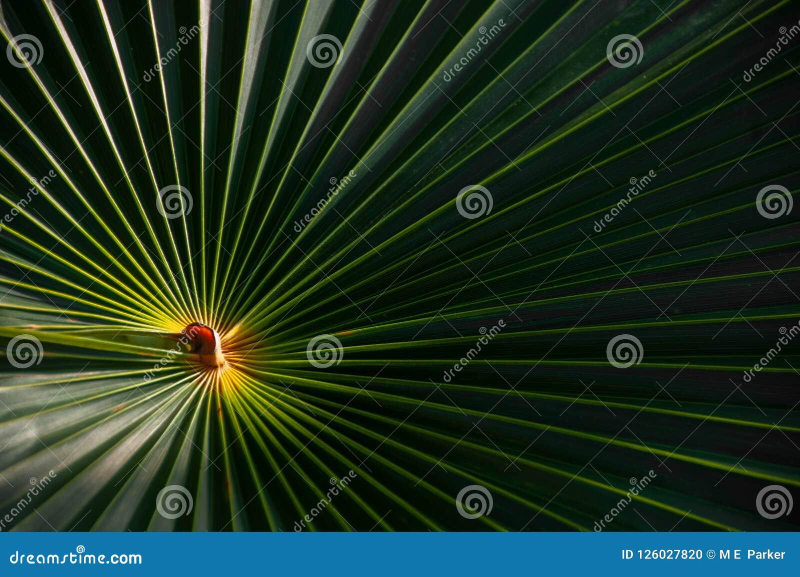 Une fronde de paume de palmetto avec un centre lumineux