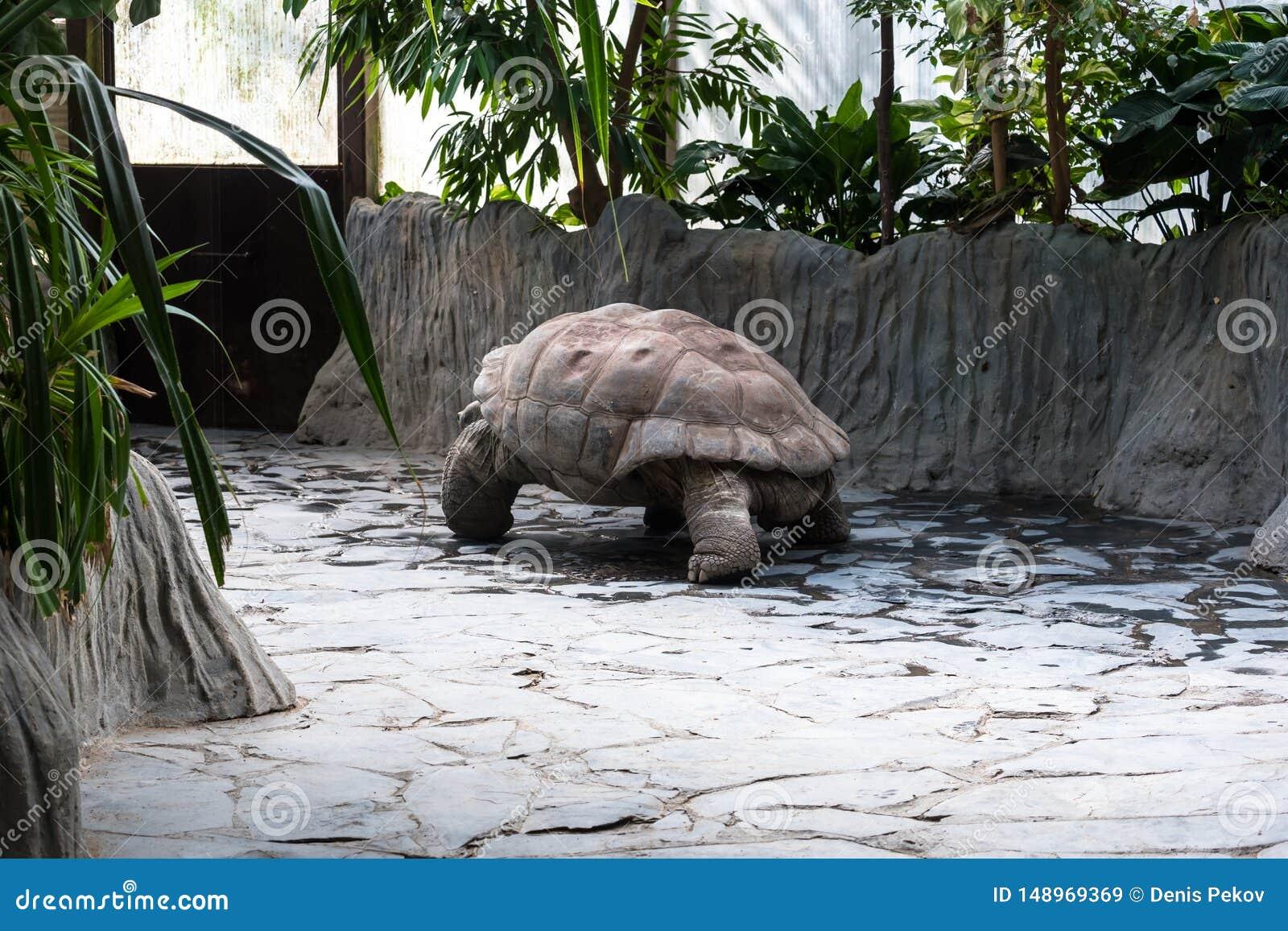 Une grande tortue se d?pla?ant lentement