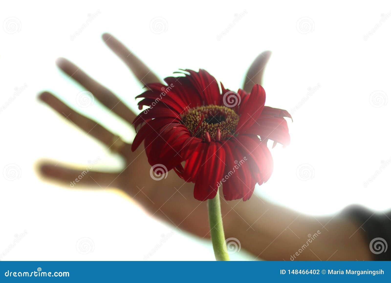 Une image abstraite d une belle fleur rouge de t?te de fleur de gerbera avec une main humaine trouble essayant ? la tenir