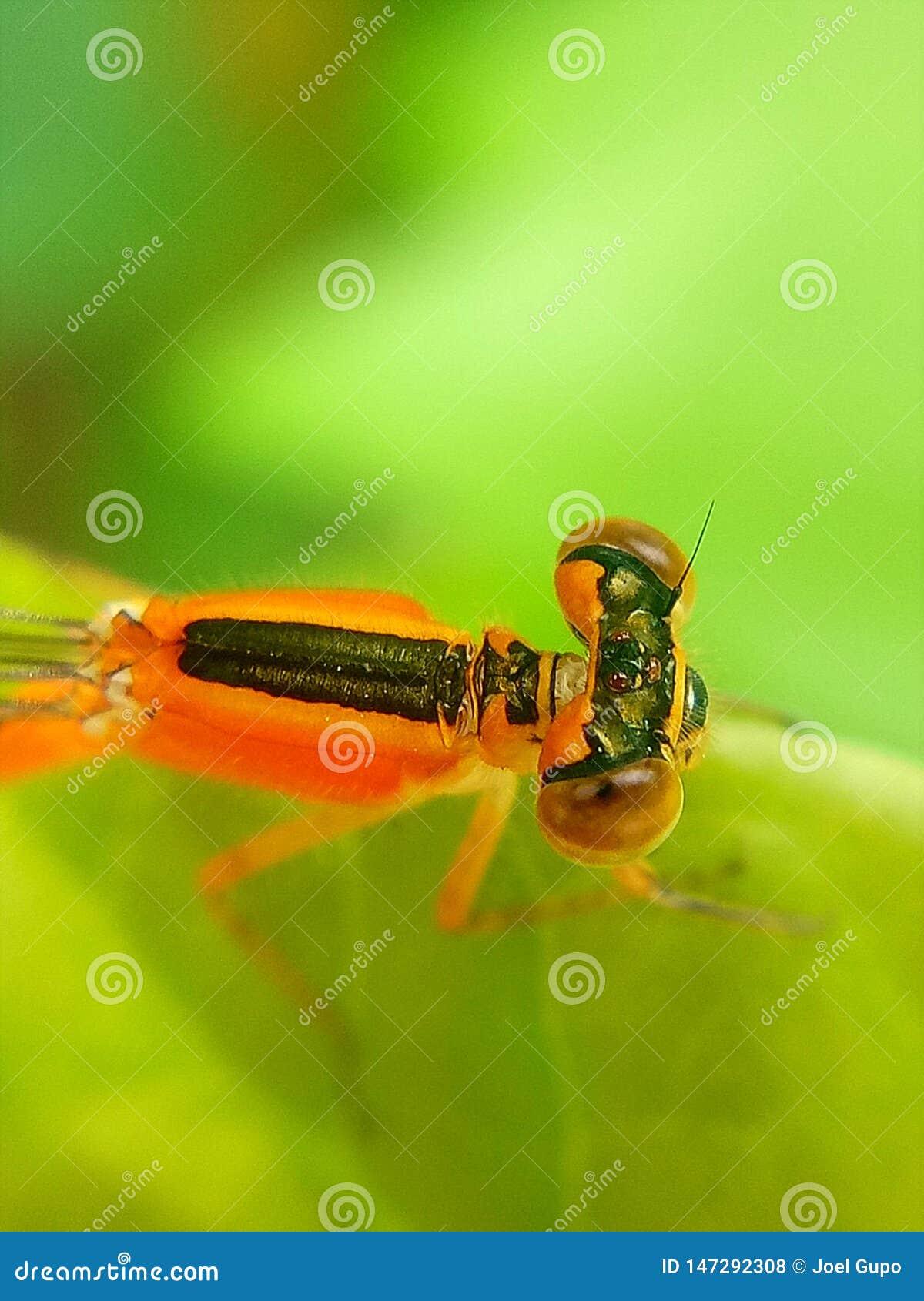 Une libellule orange