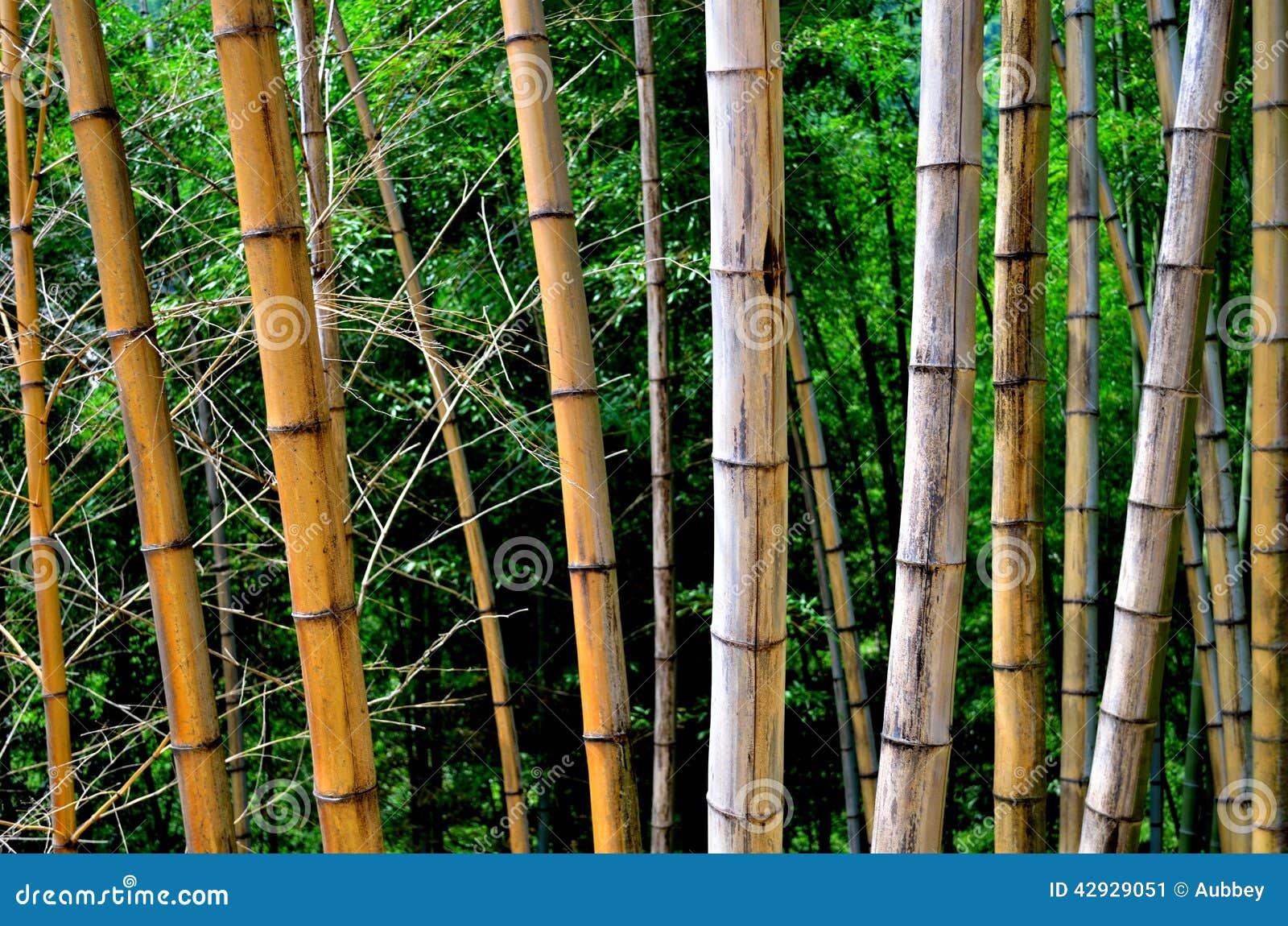 Une ligne des bambous défraîchis