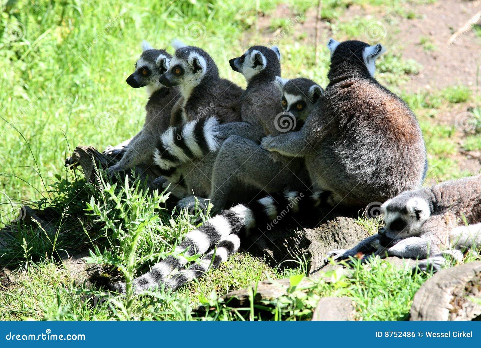Une ligne des singes de Lemur Ring-tailed