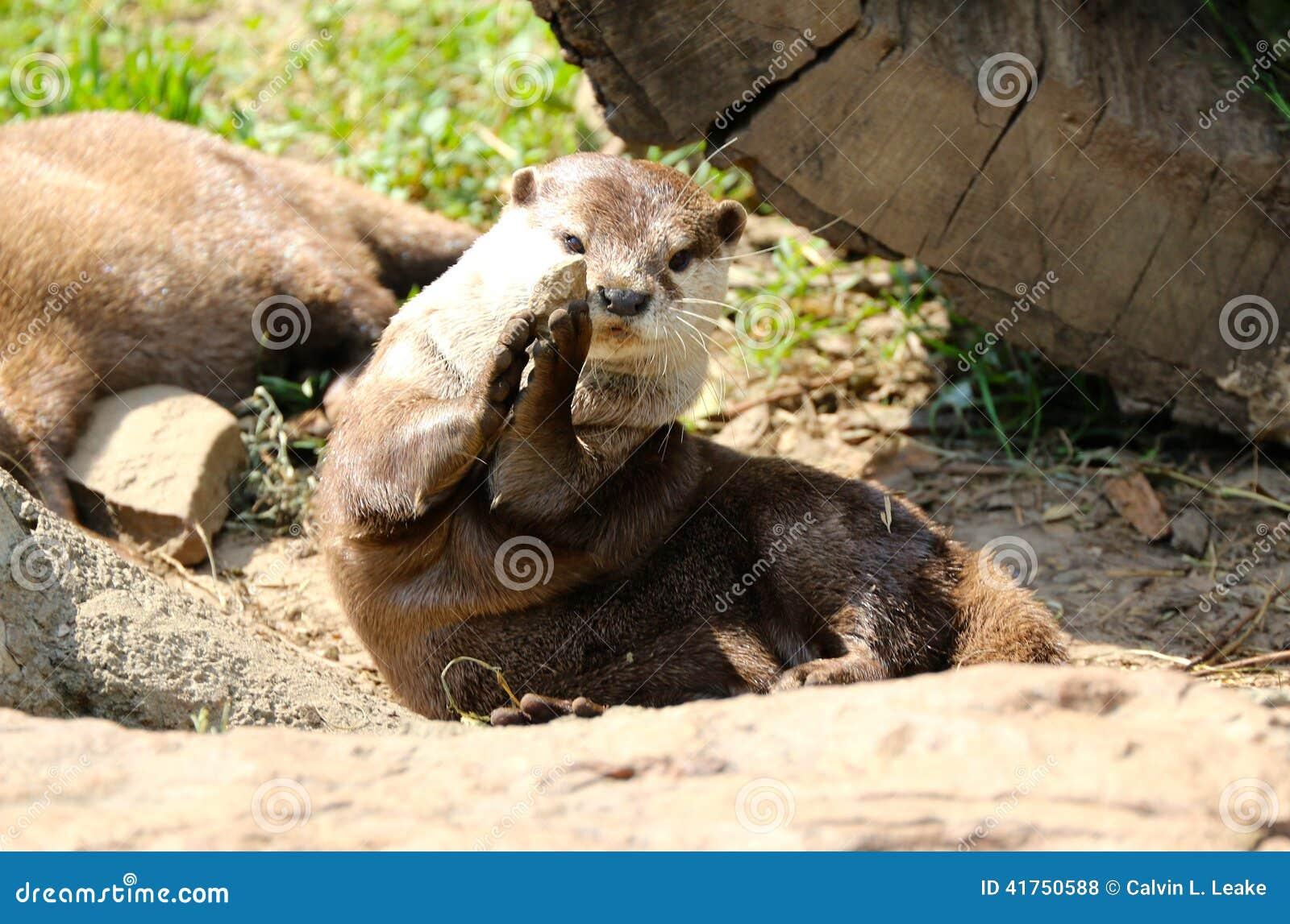 Une loutre joue avec une roche