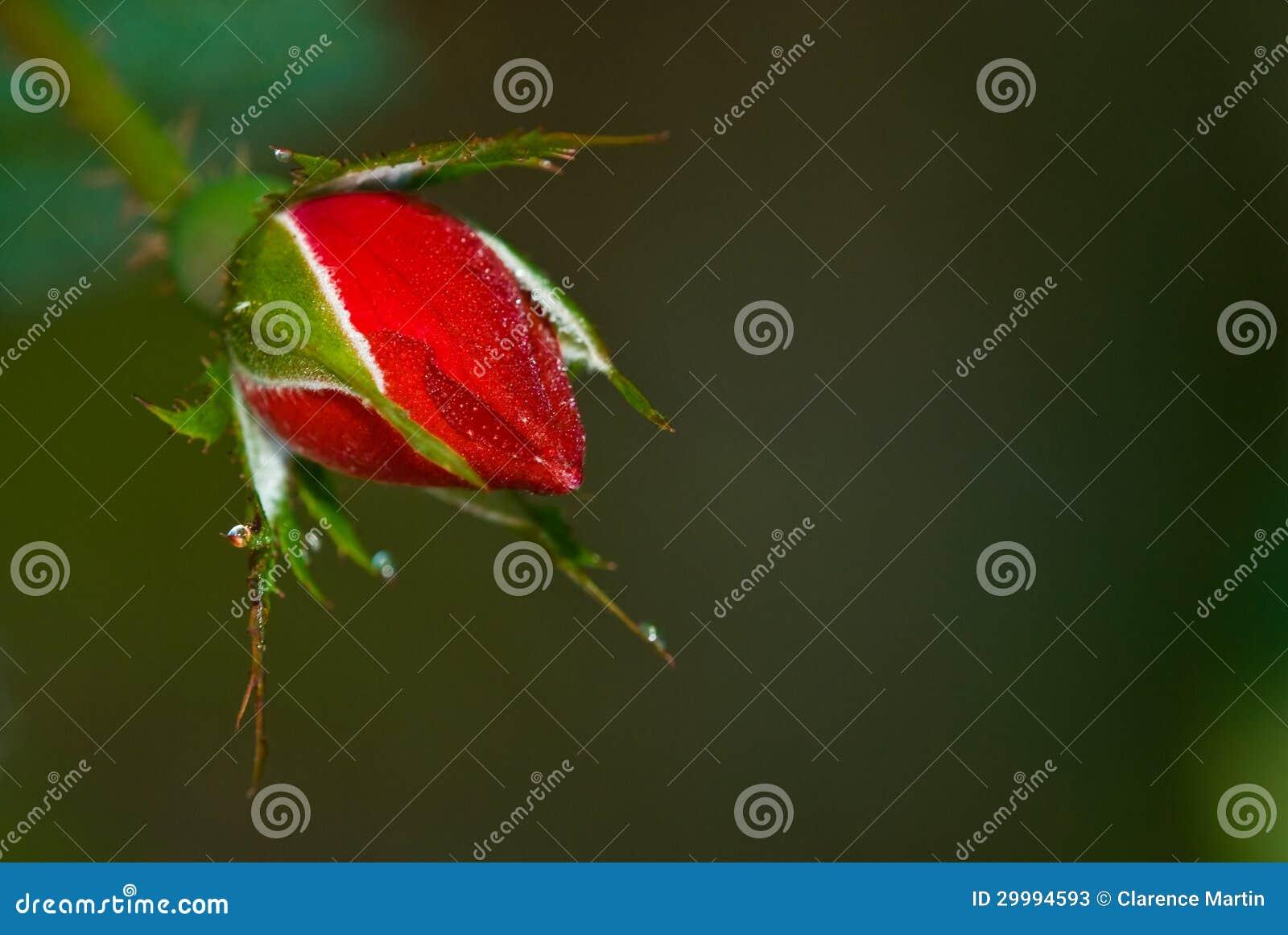 Bourgeon rose couvert par rosée