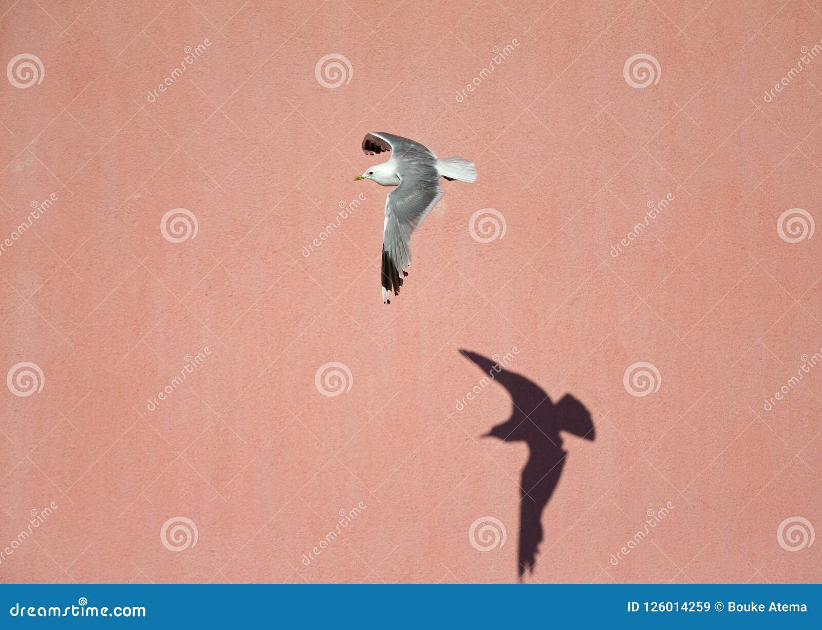 Une mouette commune ou miaulent vol de canus de Larus de mouette devant un mur rose dans les ports de Brême Allemagne