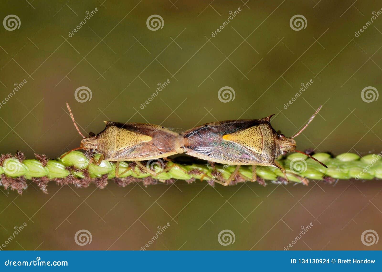 Une paire de accouplement d insectes de puanteur de riz