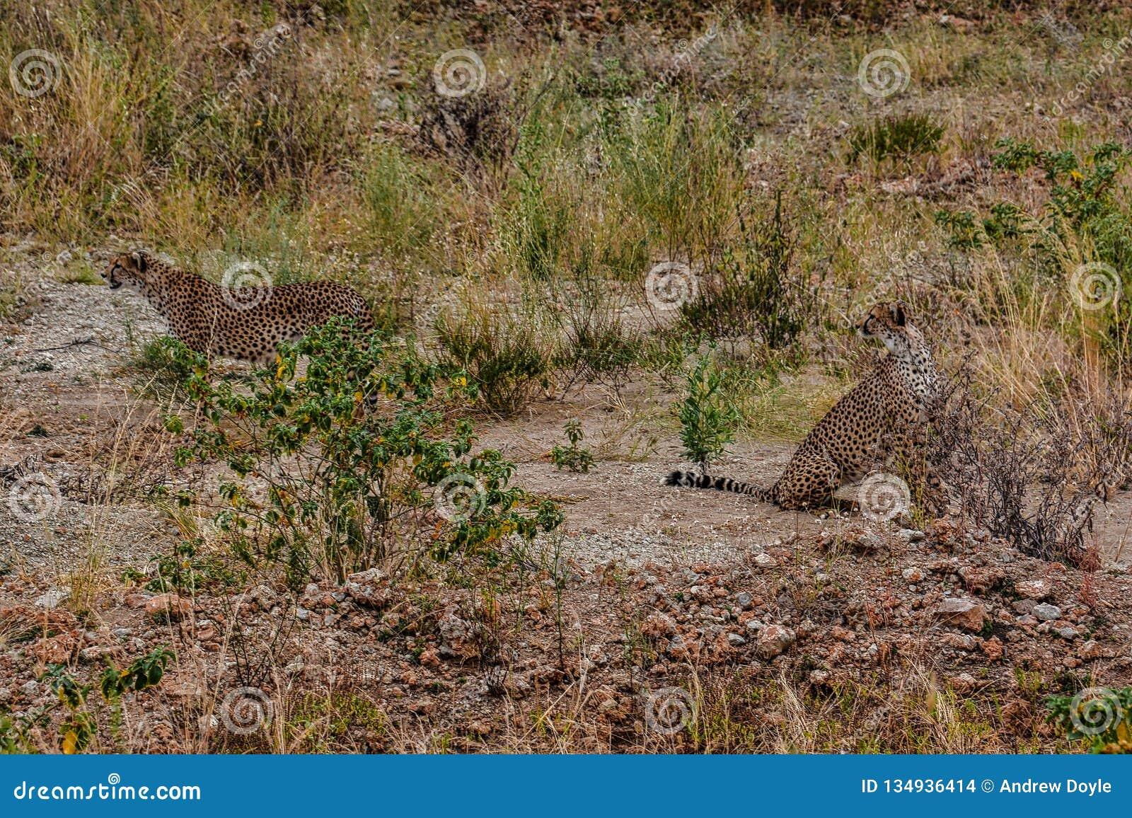 Une paire de guépards regardant quelque chose dans la distance proche du parc national Tanzanie de Tarangire