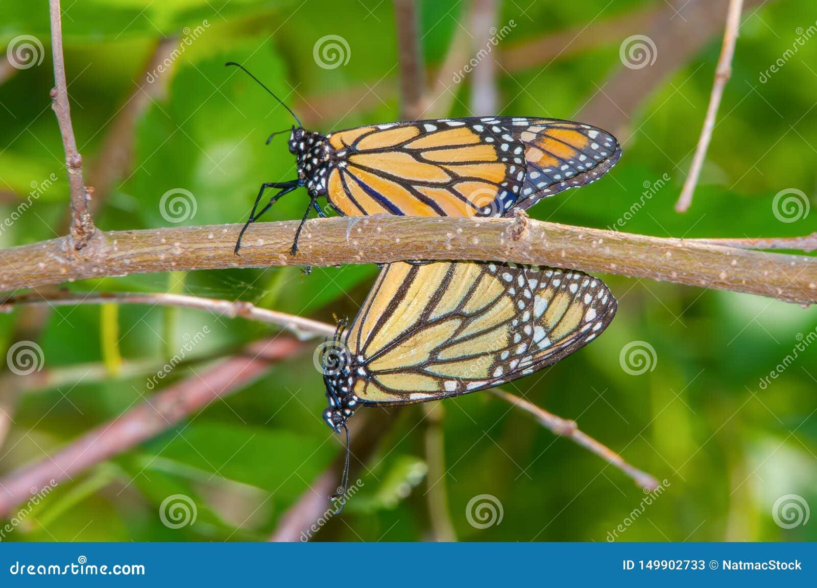 Une paire de papillons de monarque joignant sur une branche d arbre dans la réserve de vallée du Minnesota près de Minneapolis, M