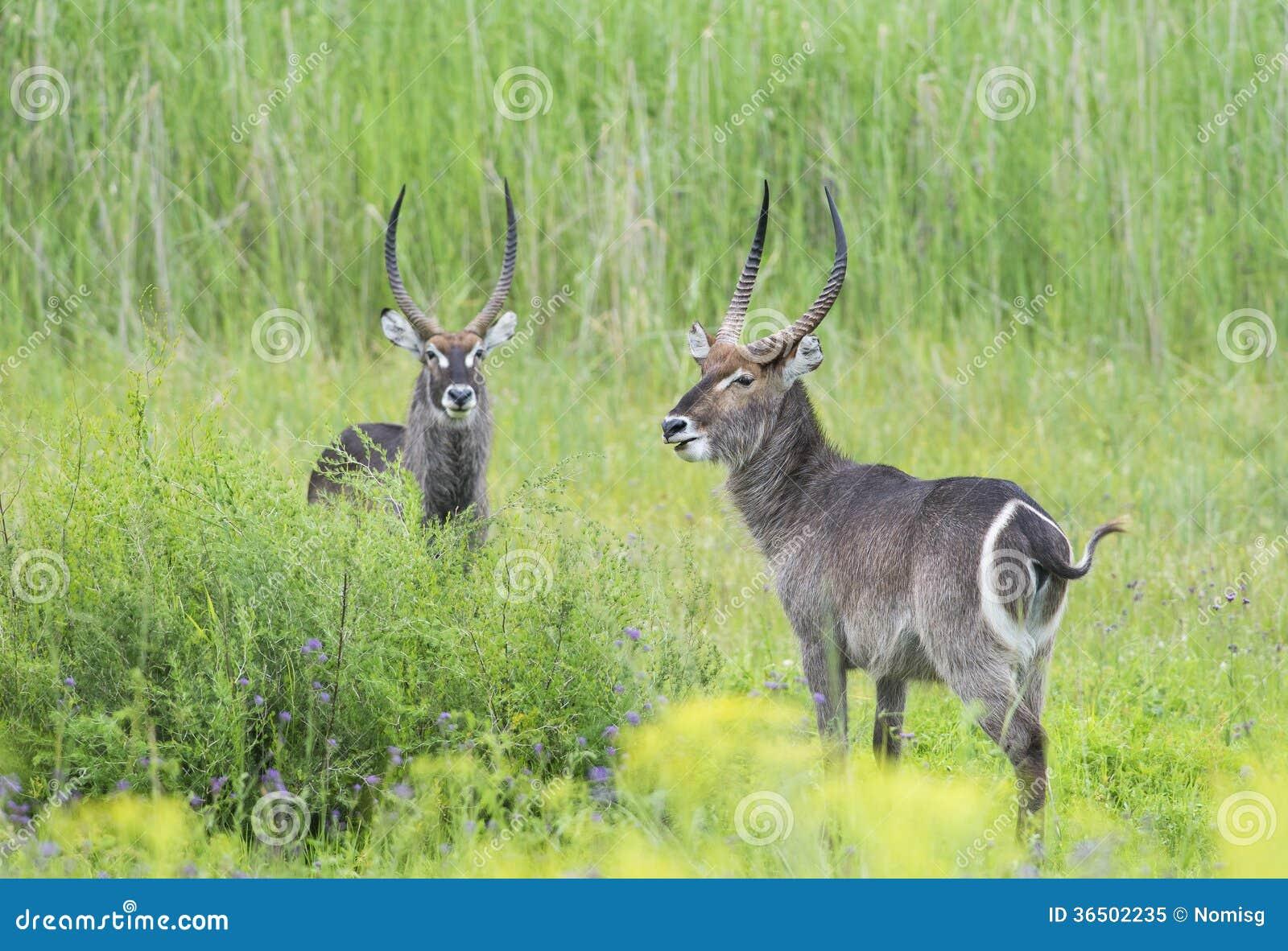 Une paire de waterbuck masculin dans le domaine vert
