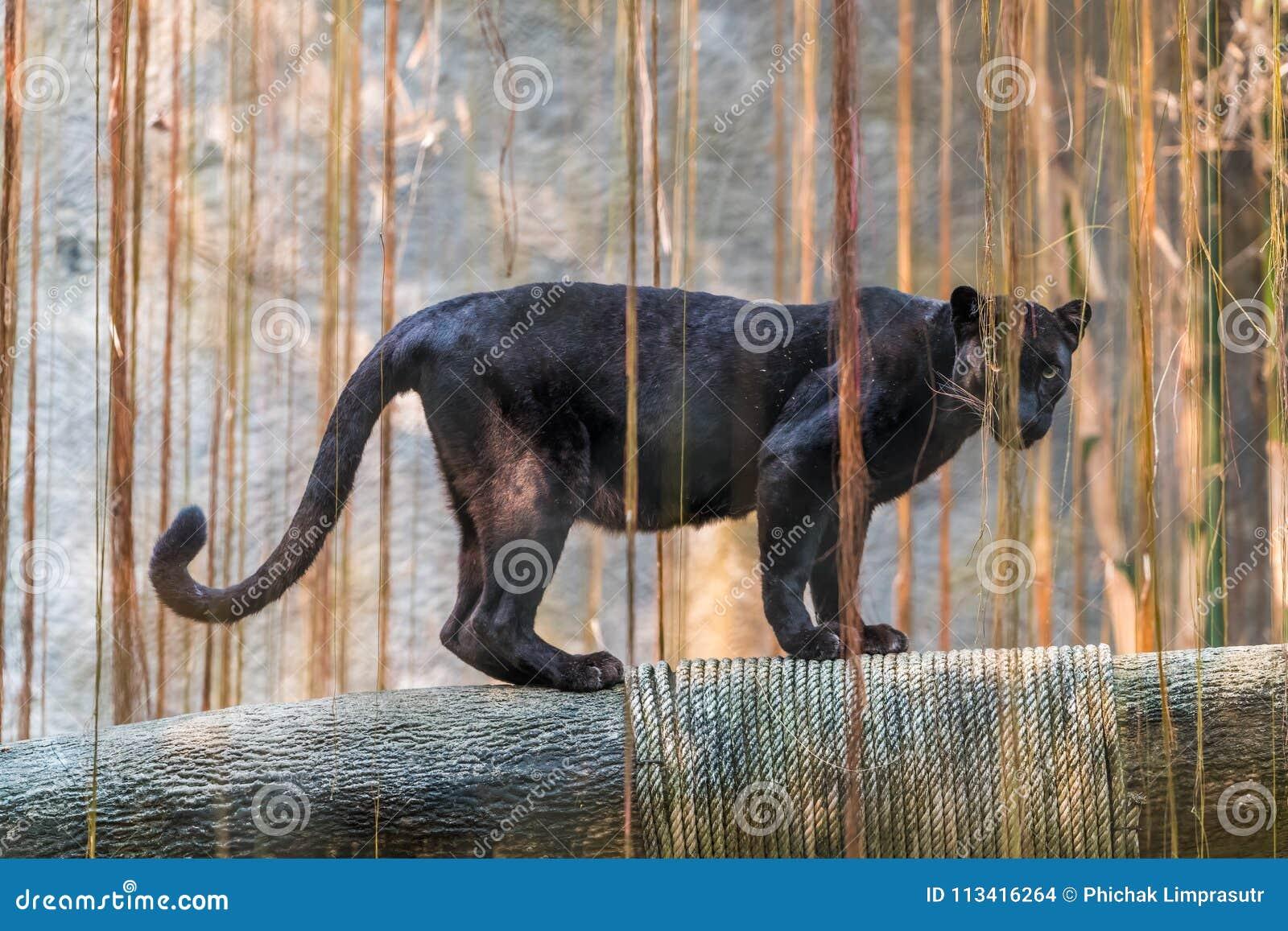 Une panthère noire est la variante melanistic de couleur du grand chat