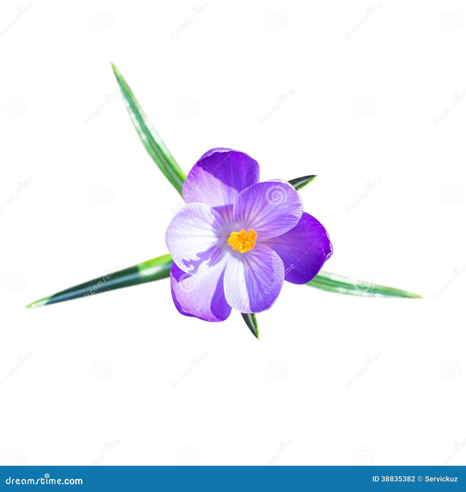 une petite fleur de crocus avec des feuilles photo stock image du closeup lumineux 38835382. Black Bedroom Furniture Sets. Home Design Ideas