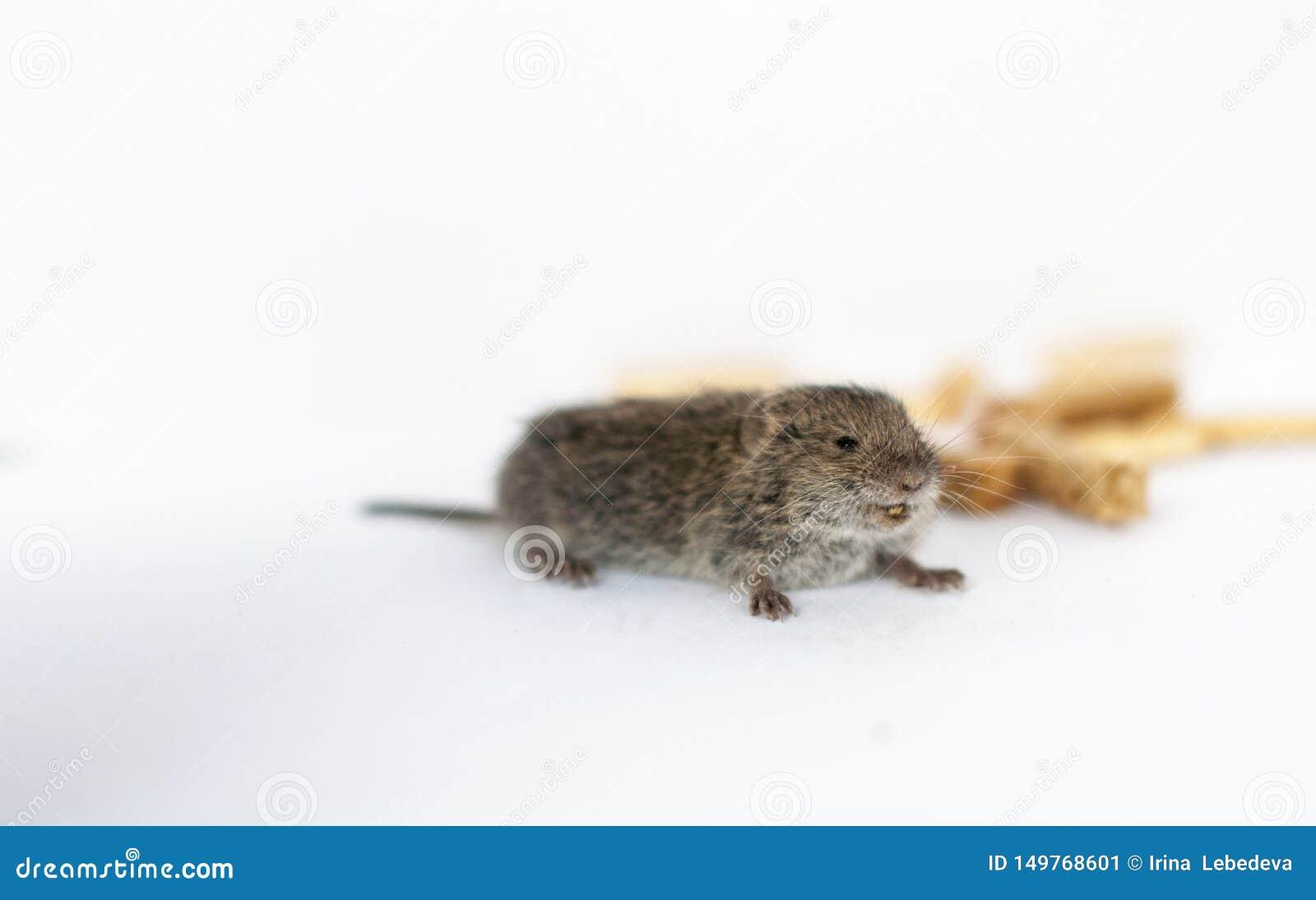 Une petite souris sauvage grise sur un fond blanc qui vole des biscuits
