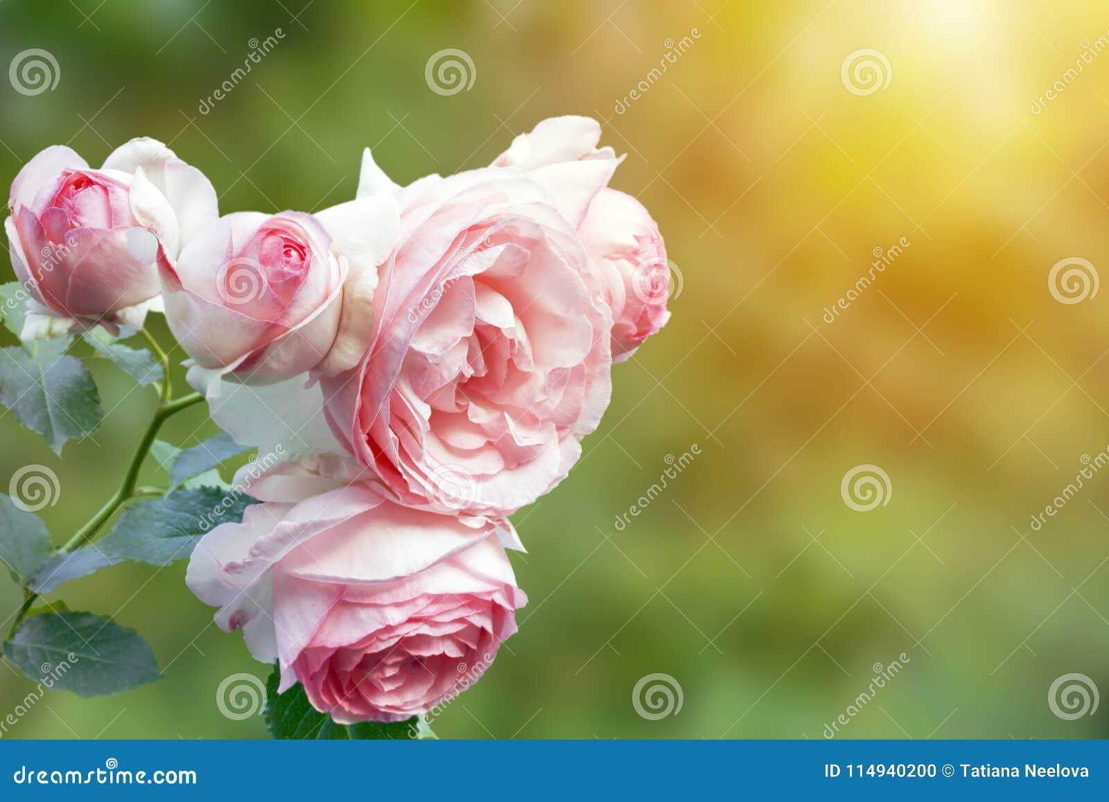 Une photo de rosier pâle rose anglais dans le jardin d été Arbuste de Rose en parc, extérieur Faisceaux de soleil avec f doux sél