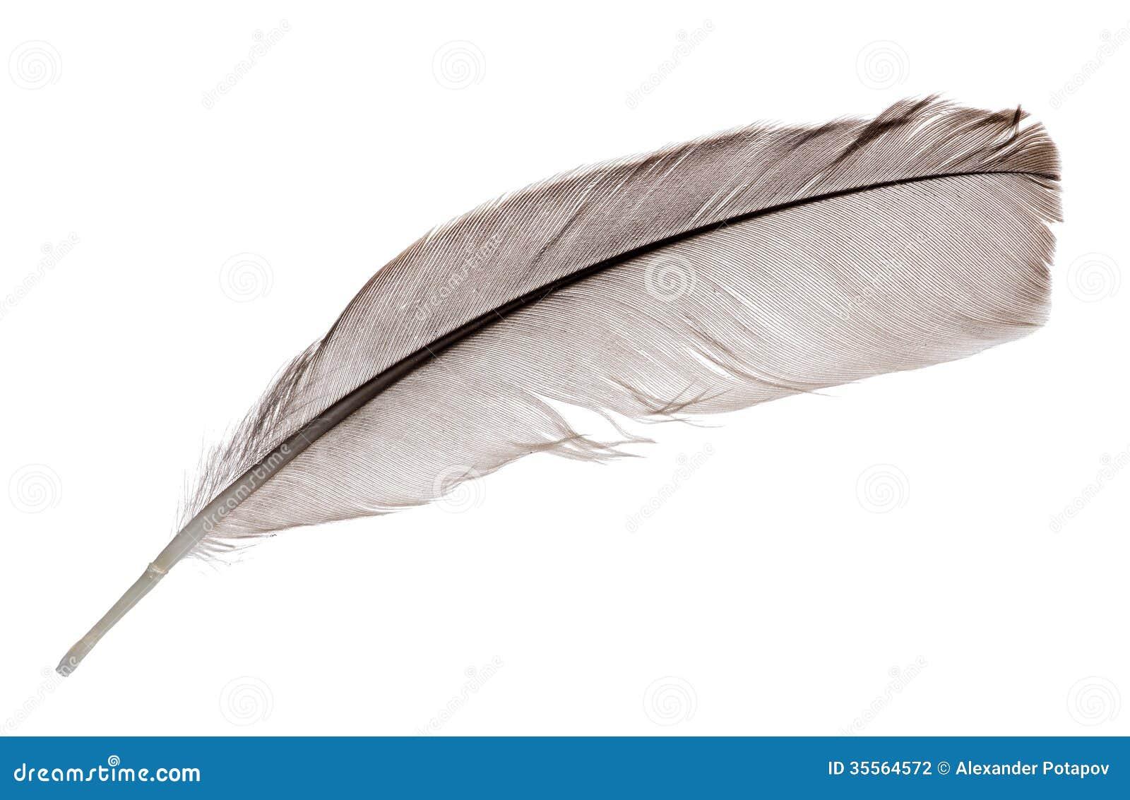 une plume gris fonc de coq sur le blanc photographie. Black Bedroom Furniture Sets. Home Design Ideas