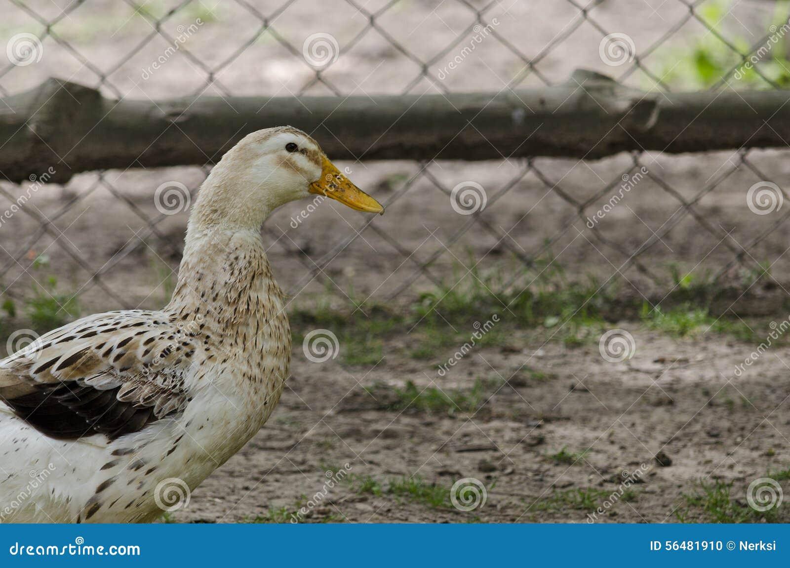 Une position de canard