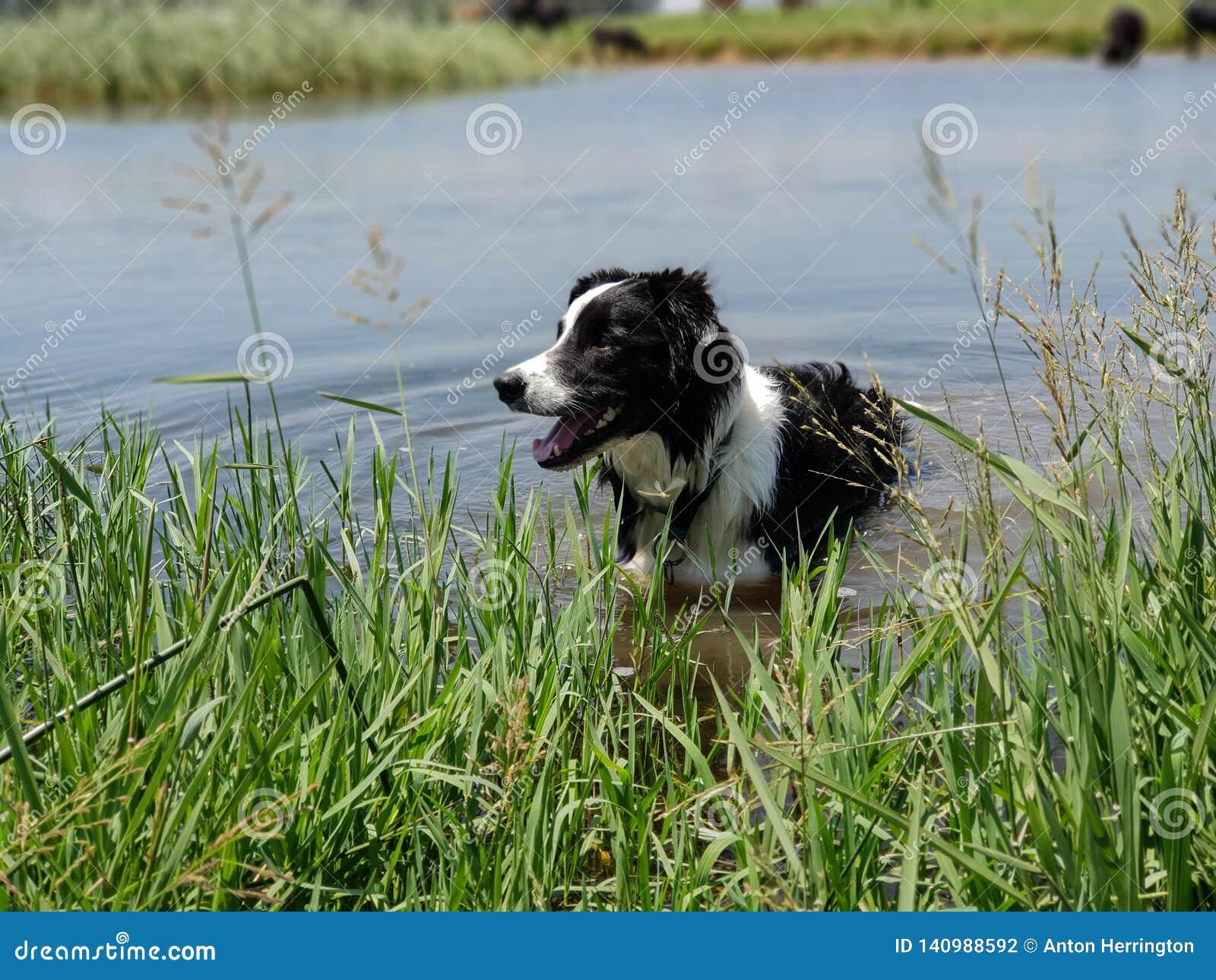 Une position de chien de border collie en longs roseaux au bord d un lac bleu