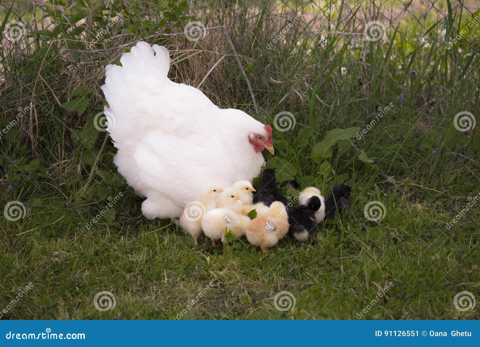 Une poule de couvée avec des poulets