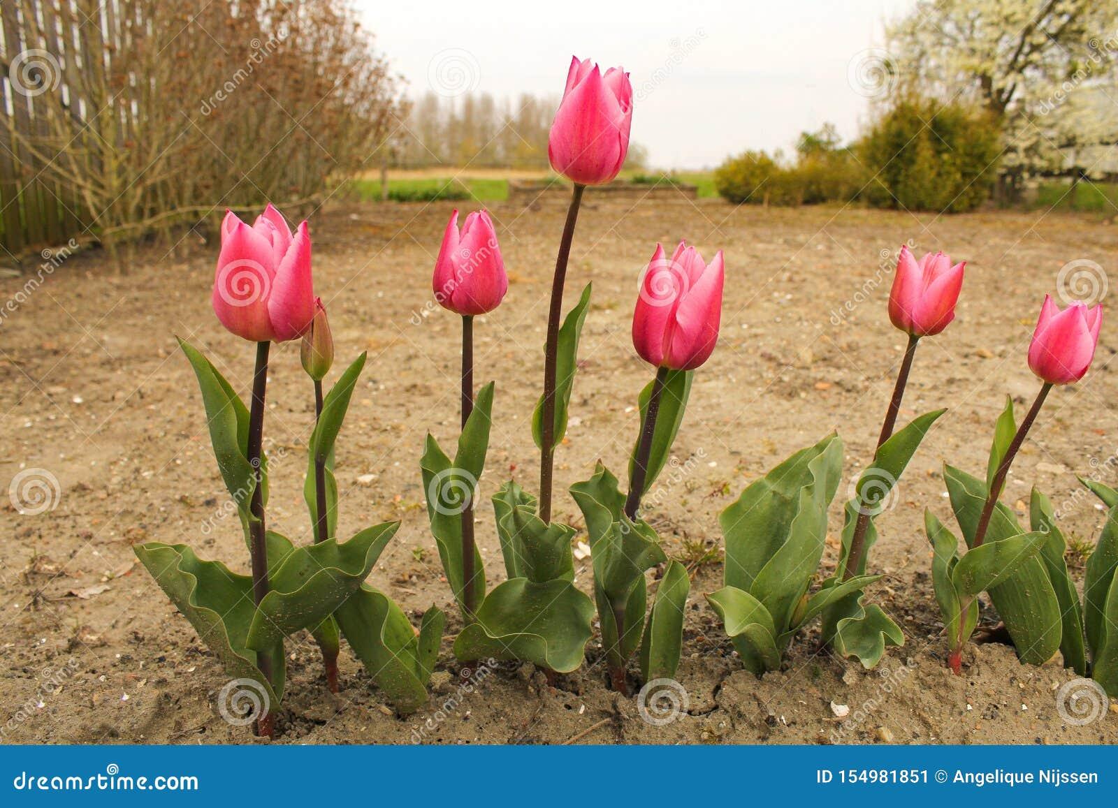 Une rangée de plan rapproché rose de tulipes dans le jardin au printemps