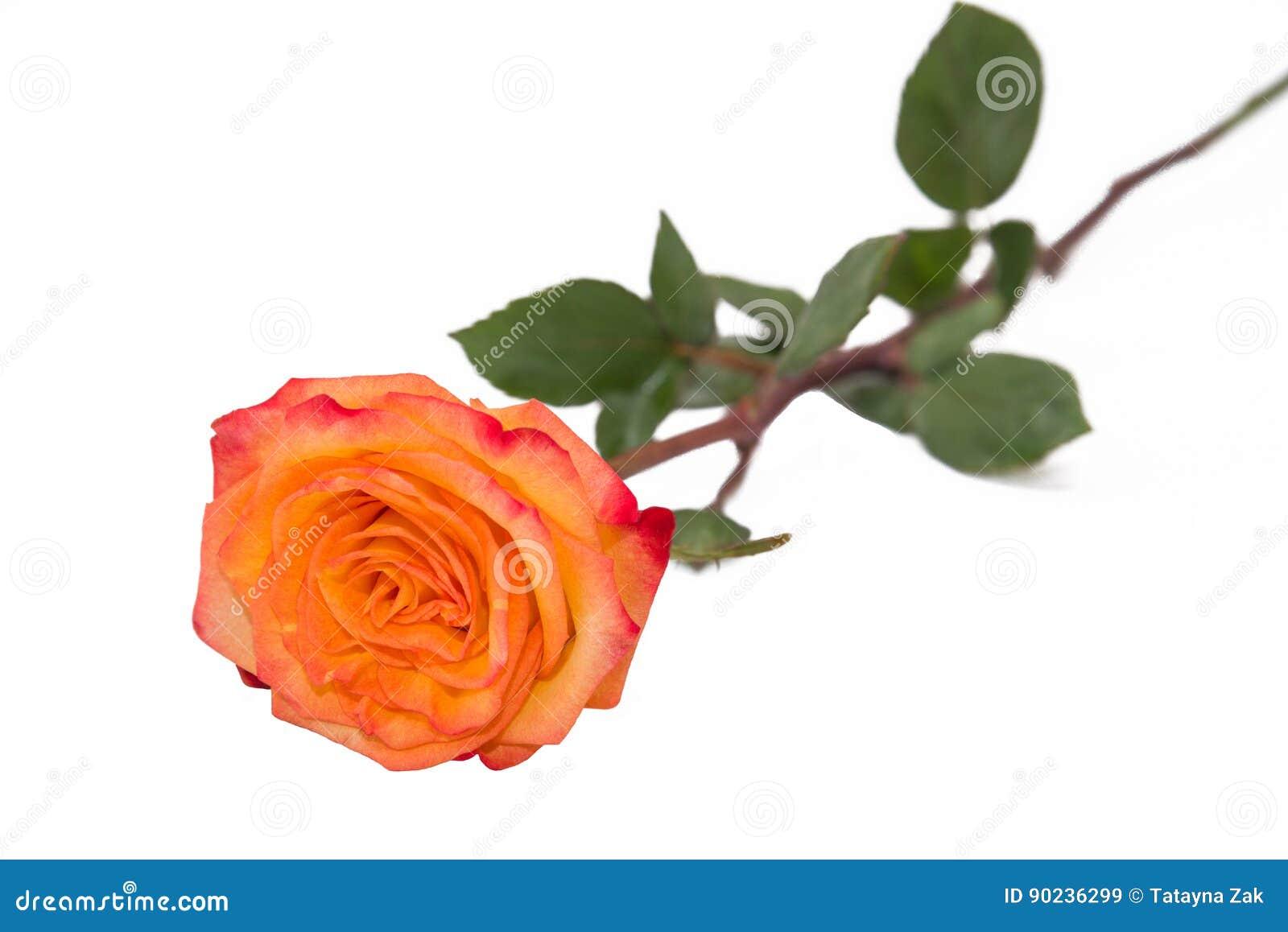 Une rose d 39 or simple de jaune sur une tige naturelle avec - Rose avec tige ...