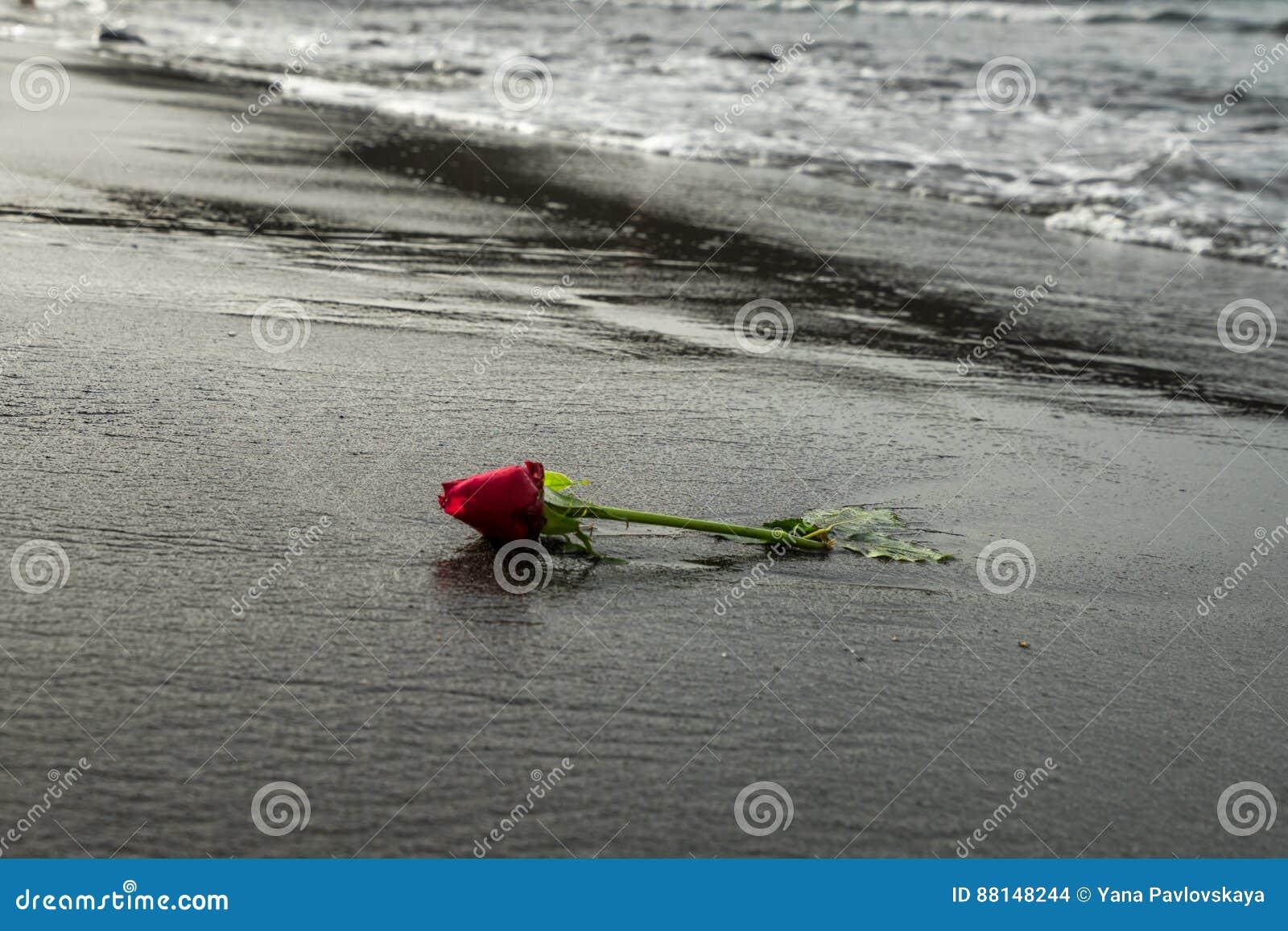 Une Rose De Rouge Sur La Plage Noire De Sable Photo Stock Image Du