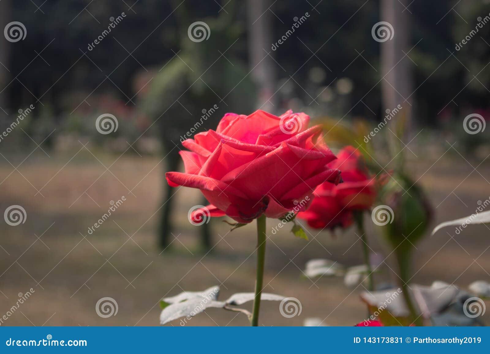 Une rose rouge simple sur la branche