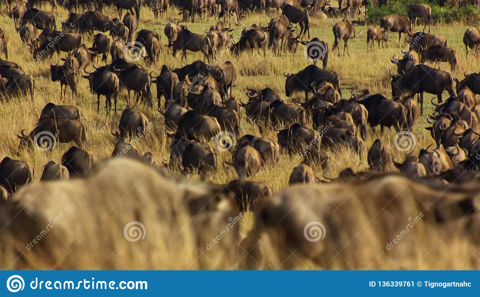 Une saison sèche prend la prise Pour éviter la famine, beaucoup le gnou errent la savane africaine est chassant la pluie