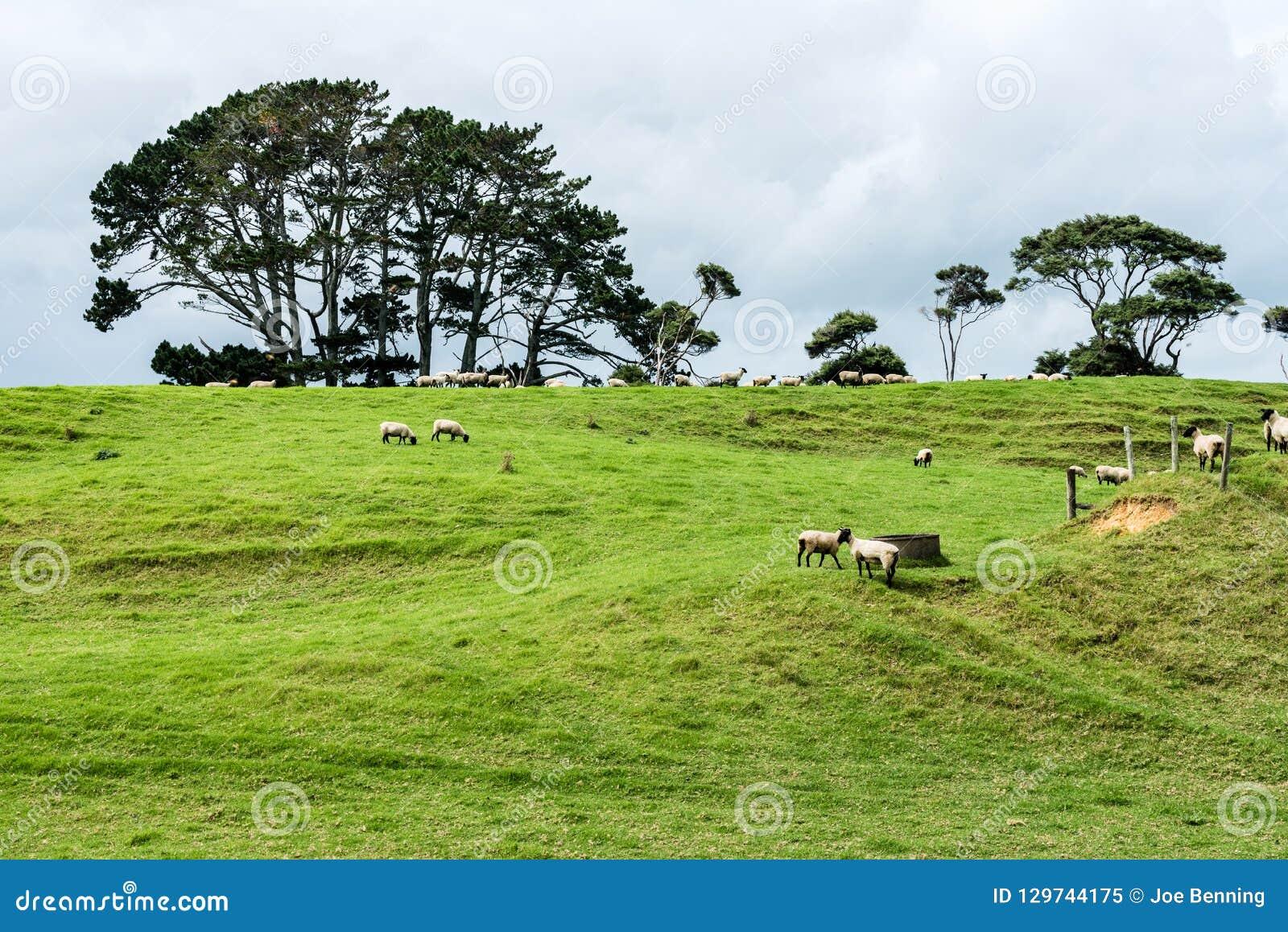 Une station de moutons du Nouvelle-Zélande