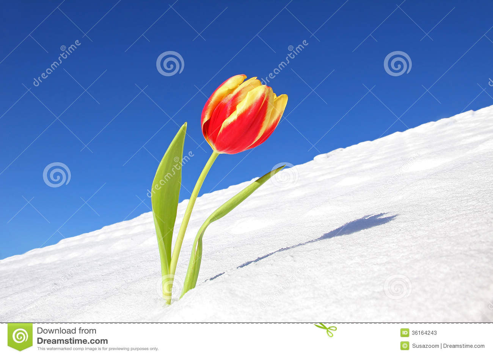tulipe hiver