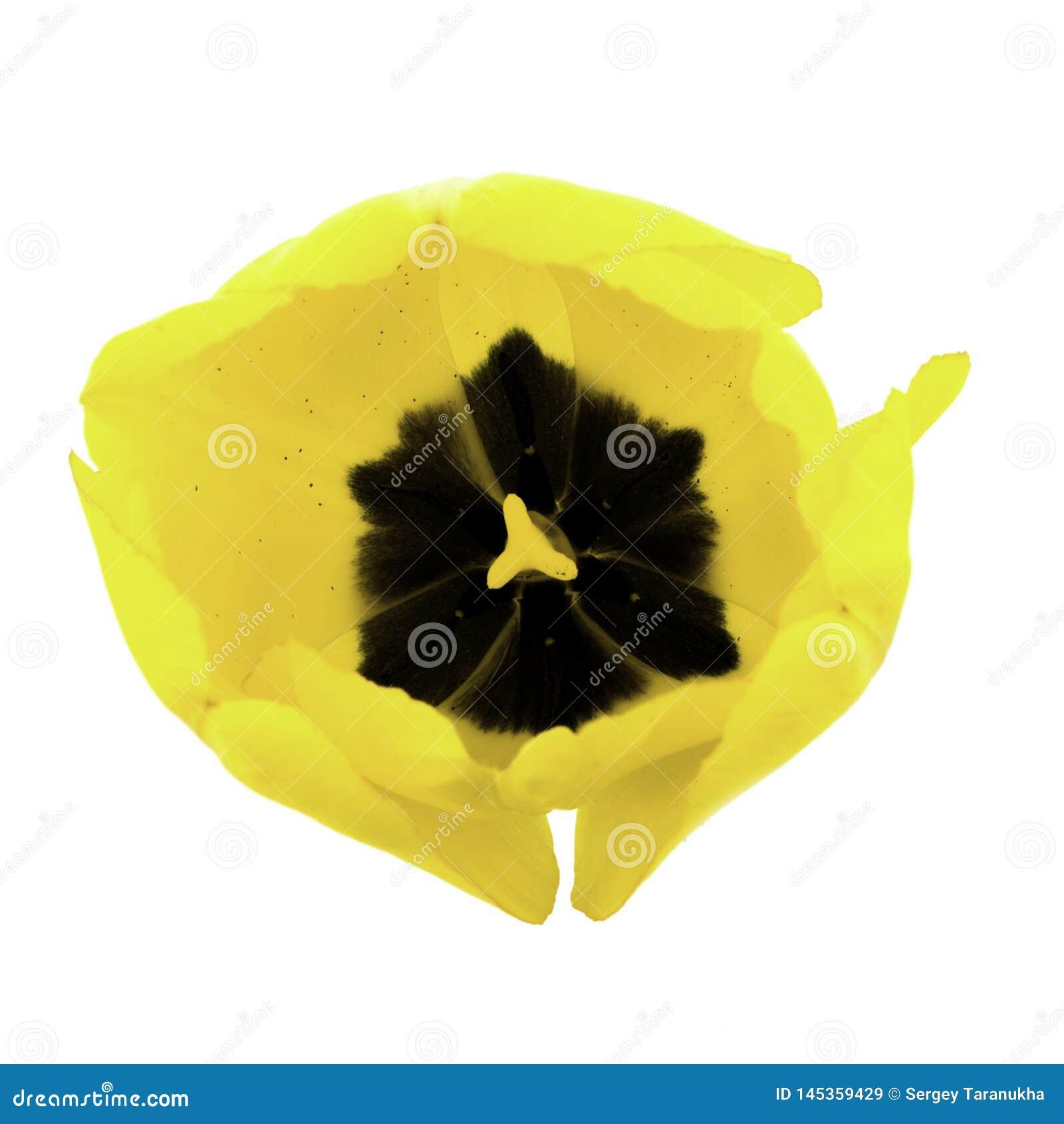 Une tulipe jaune d isolement sur le fond blanc
