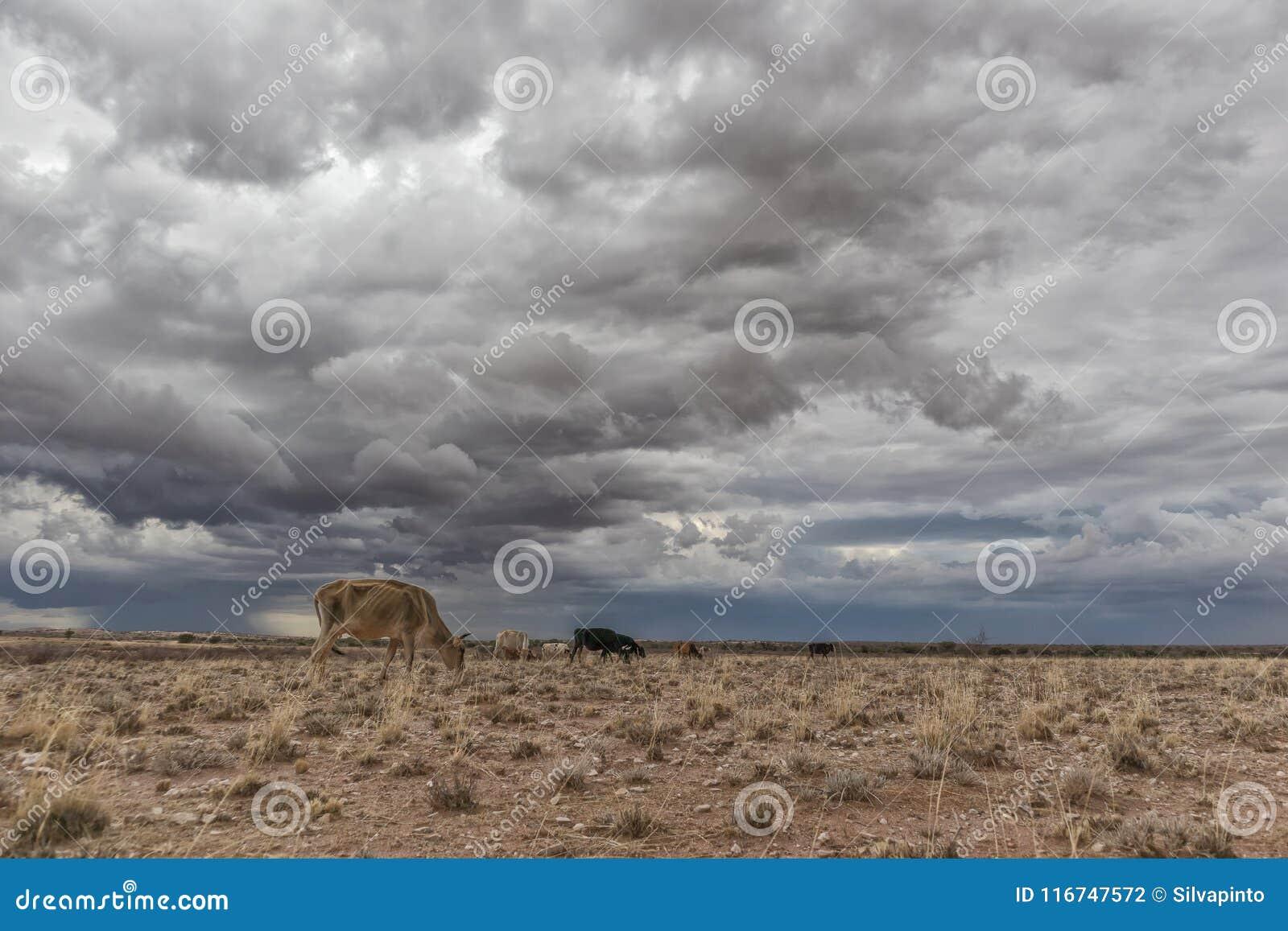 Une vache extrêmement maigre frôlant dans le désert de la Namibie