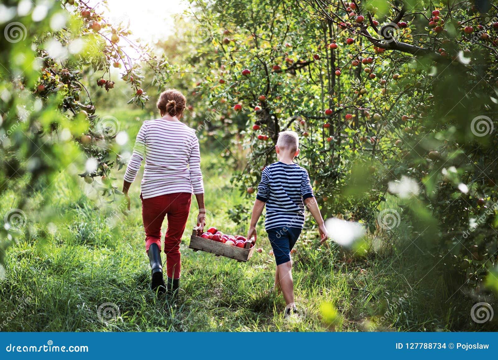 Une vue arrière de grand-mère avec le petit-fils portant la boîte en bois avec des pommes dans le verger