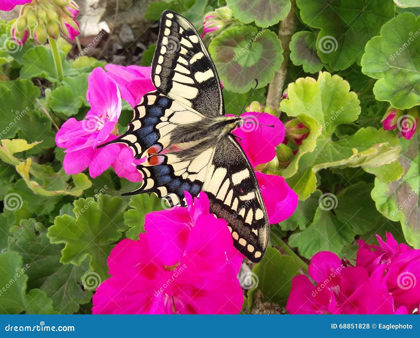 Une vue de papillon asiatique de tigre sur la fleur rose - Papillon fleur ...