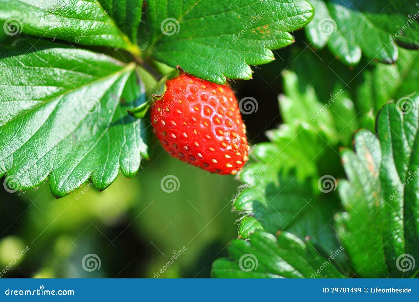Vari t de bonbon de plante fruiti re et de buisson de for Decoration d un fraisier