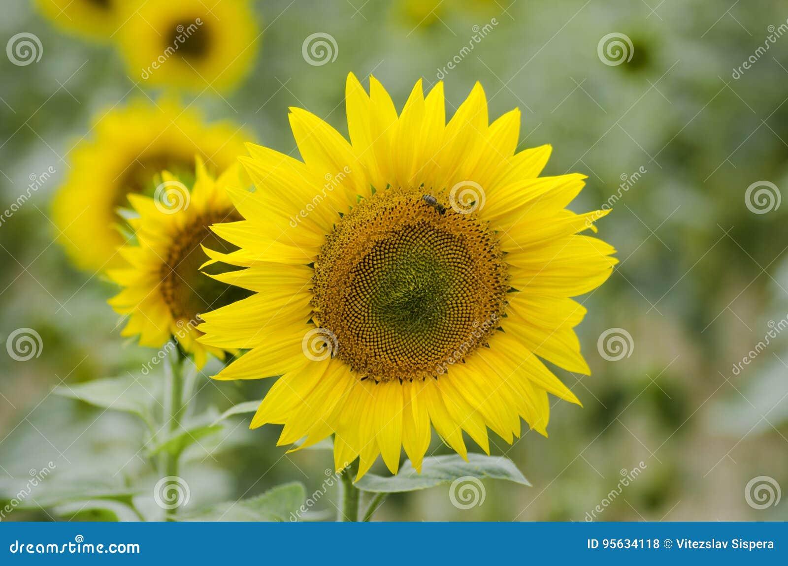 Une vue en gros plan d un tournesol et une abeille sur un tournesol mettent en place