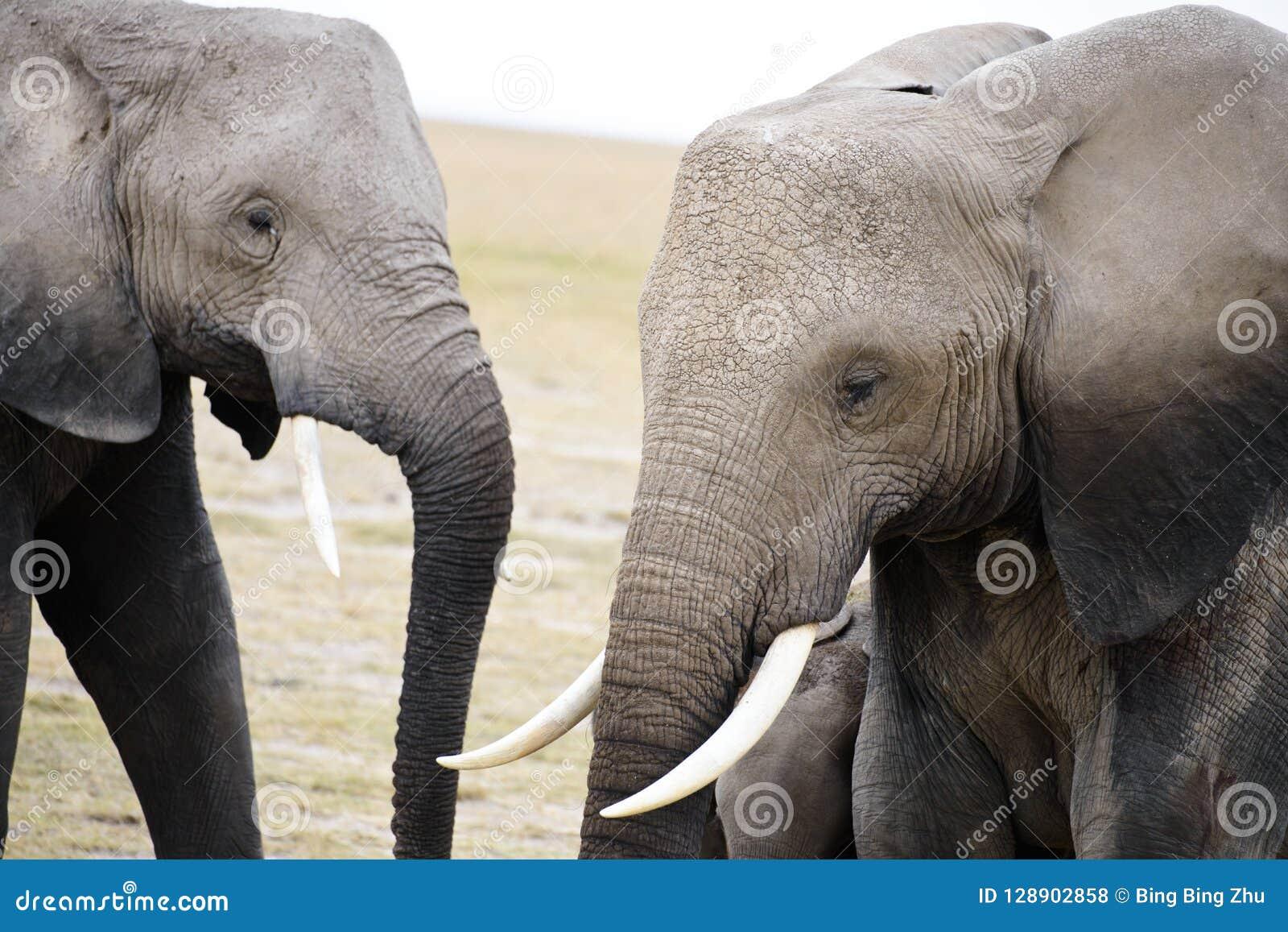 Une vue en gros plan des éléphants de l Afrique