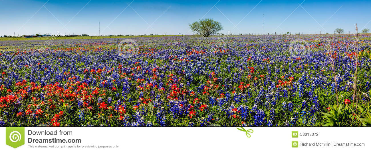 Une vue panoramique d un beau champ de Texas Wildflowers
