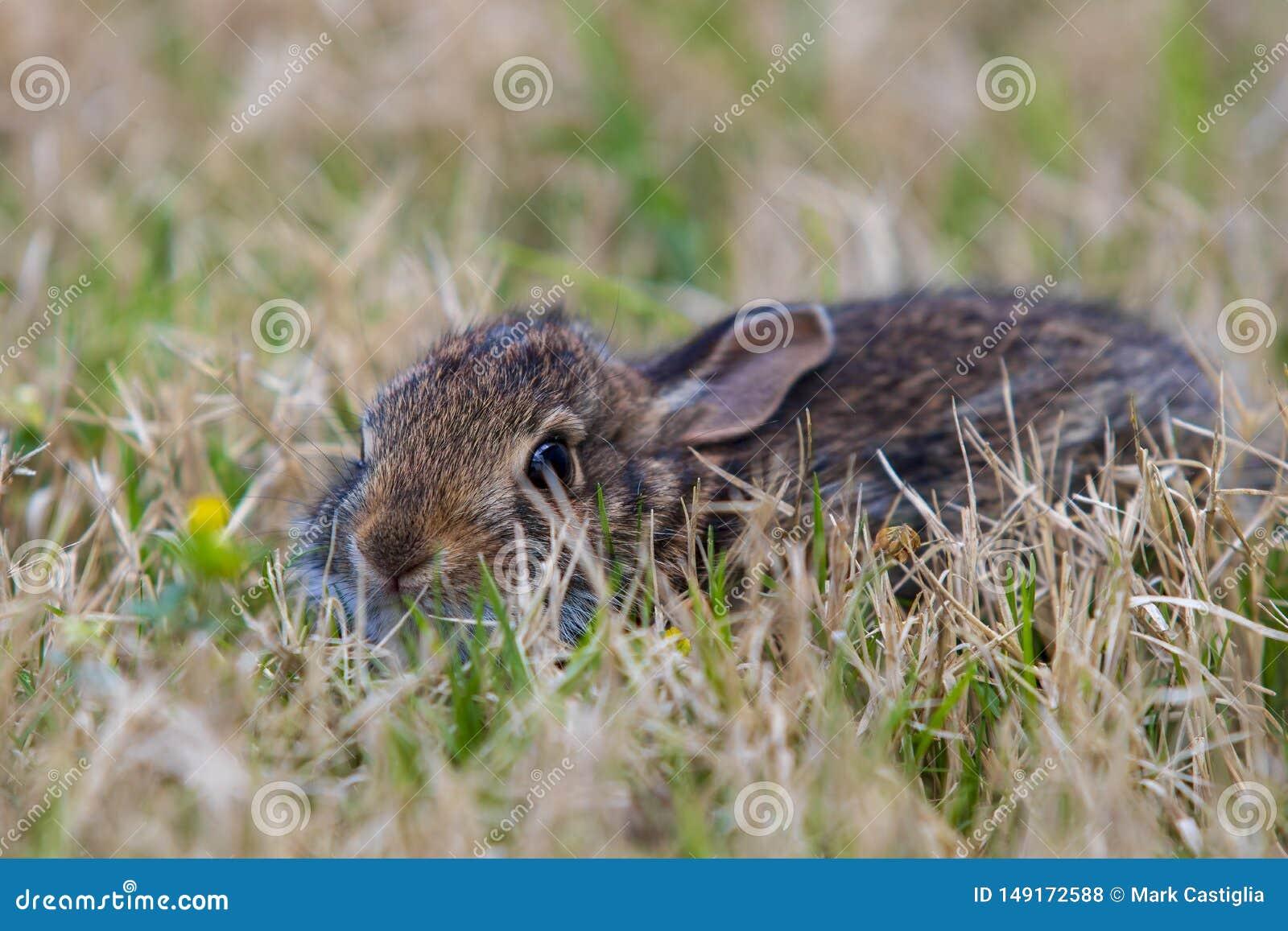 Ung brun kanin i h?gv?xt gr?s