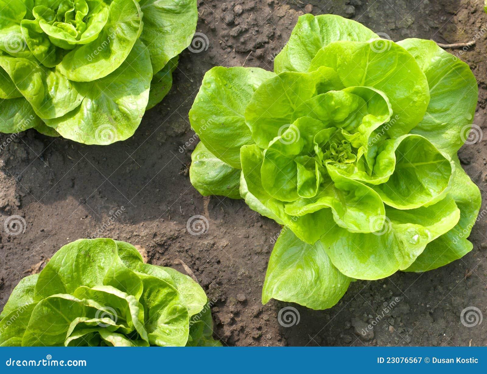 Ung grönsallat