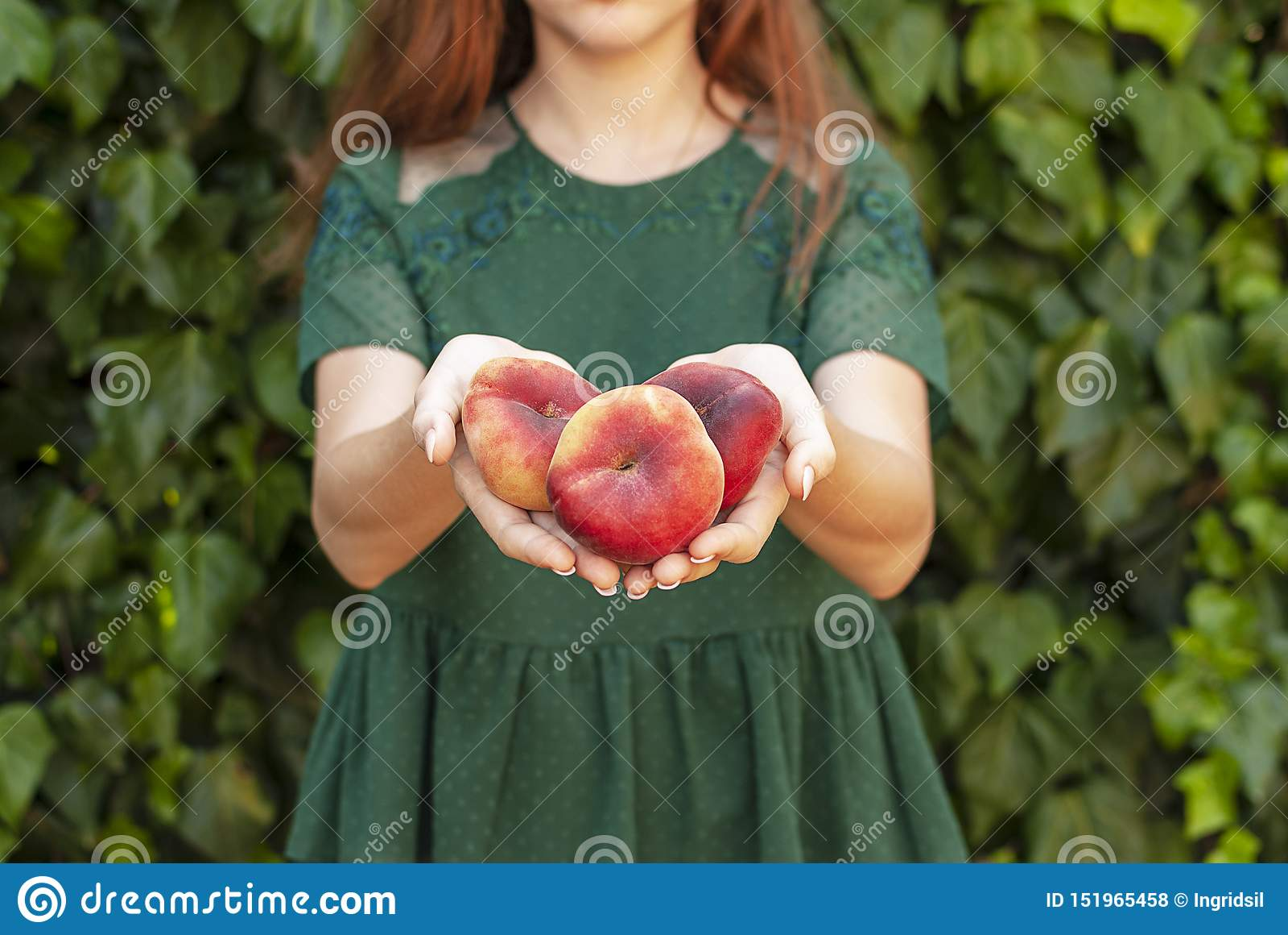 Ung kvinna som rymmer några röda plana persikor i hennes händer Prunus Persica platycarpa Kinesisk plan persika Variationer: