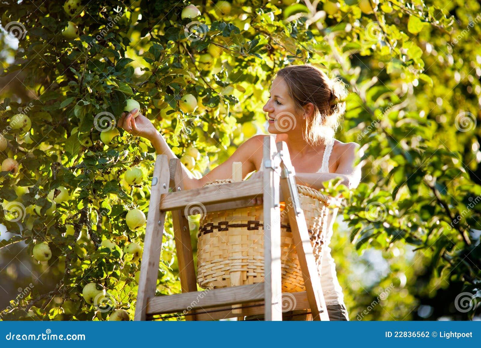 Ung kvinna upp på äpplen för en stegeplockning från ett äppleträd