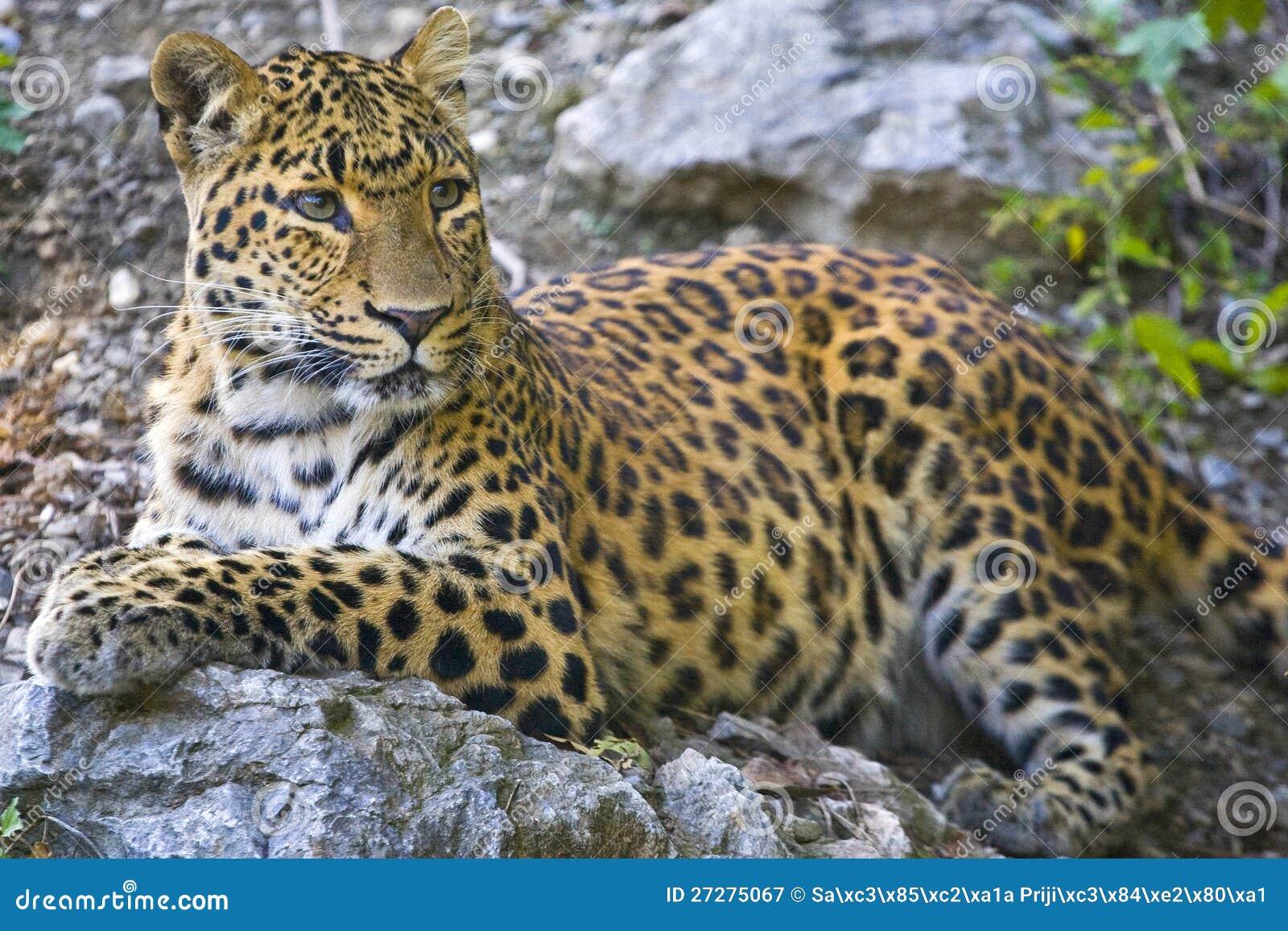 Ung leopardstående