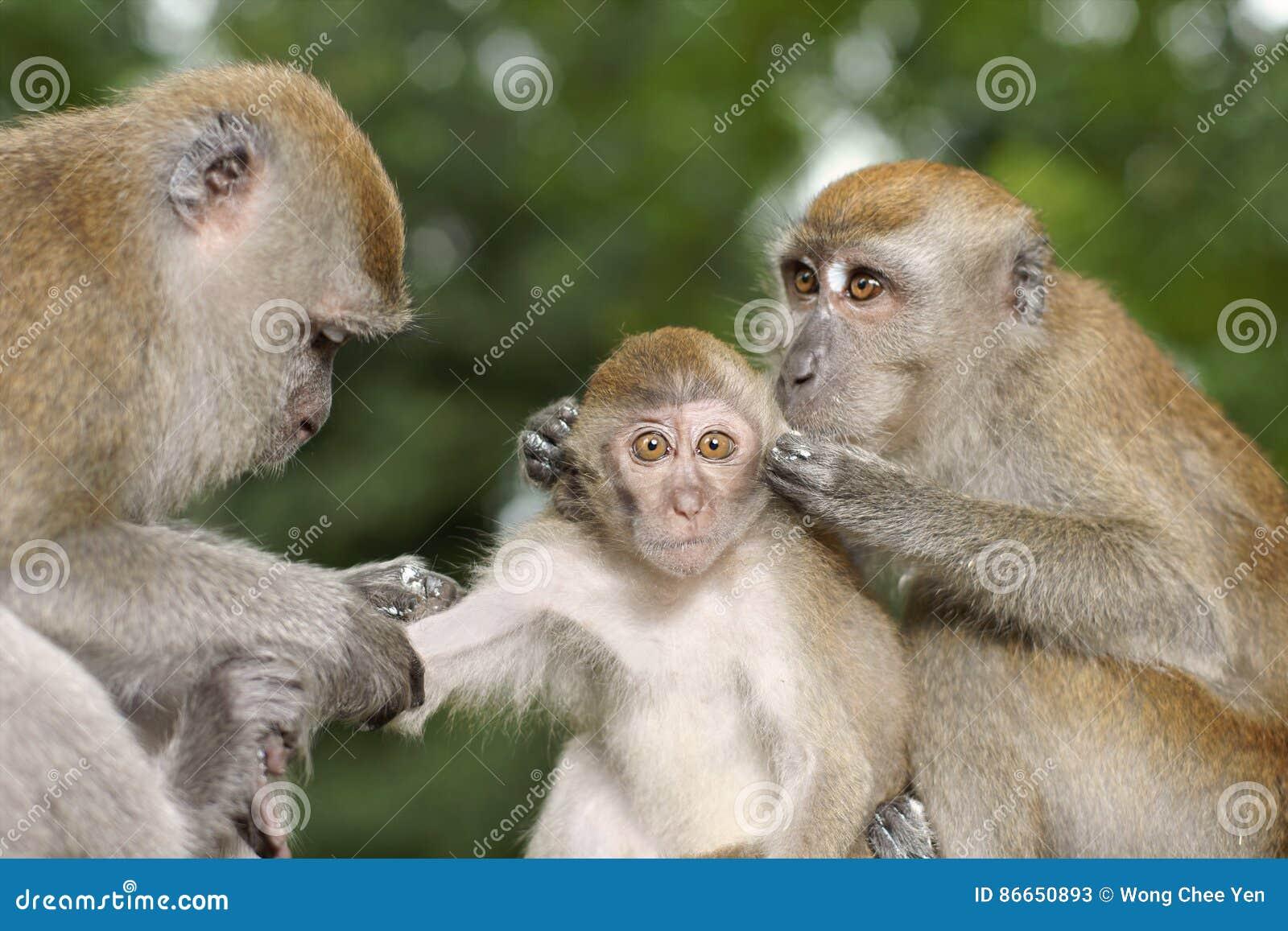 Ung Macaque för lång svans som ansas